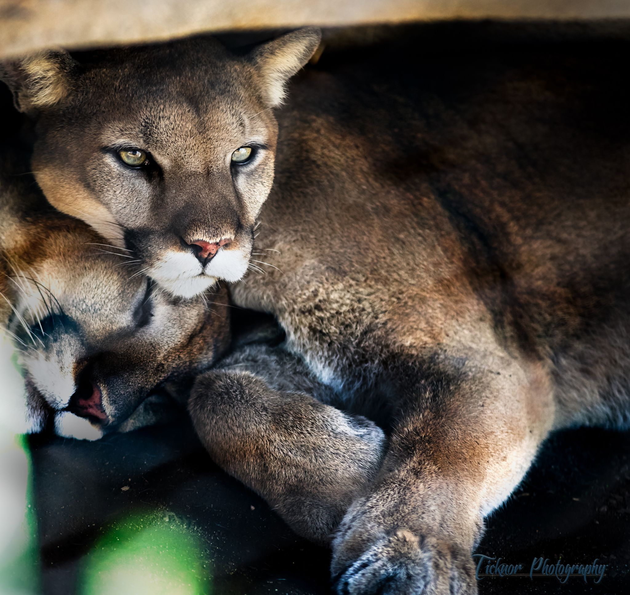 Cougar by TicknorPhoto