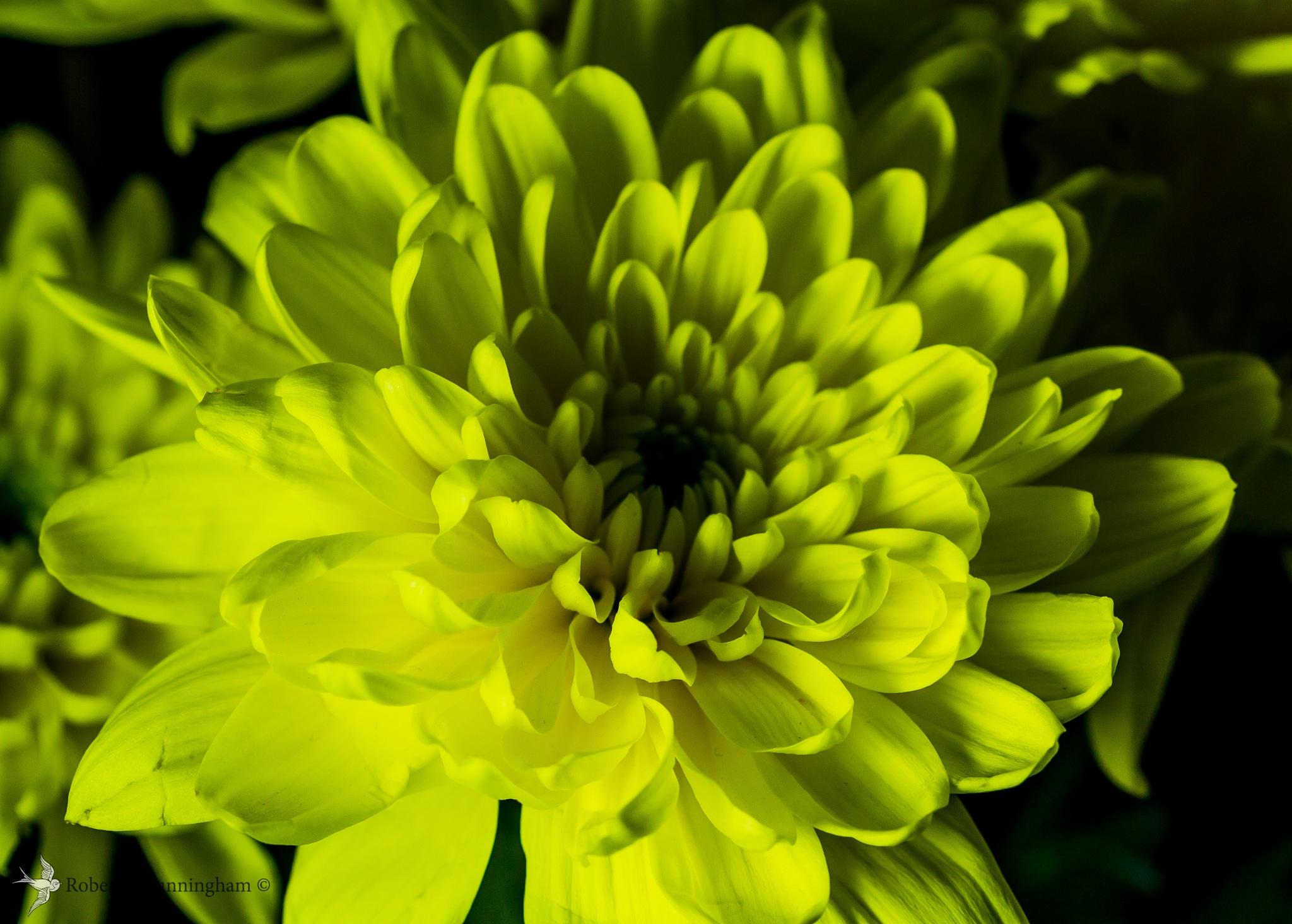 Chrysanthemum by bob.cunningham.56884