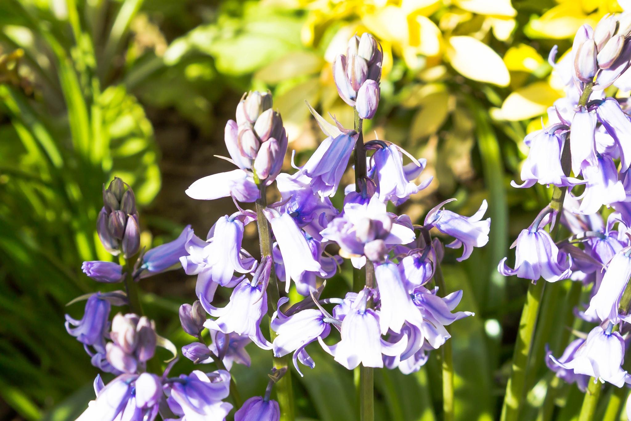 Bluebells by bob.cunningham.56884