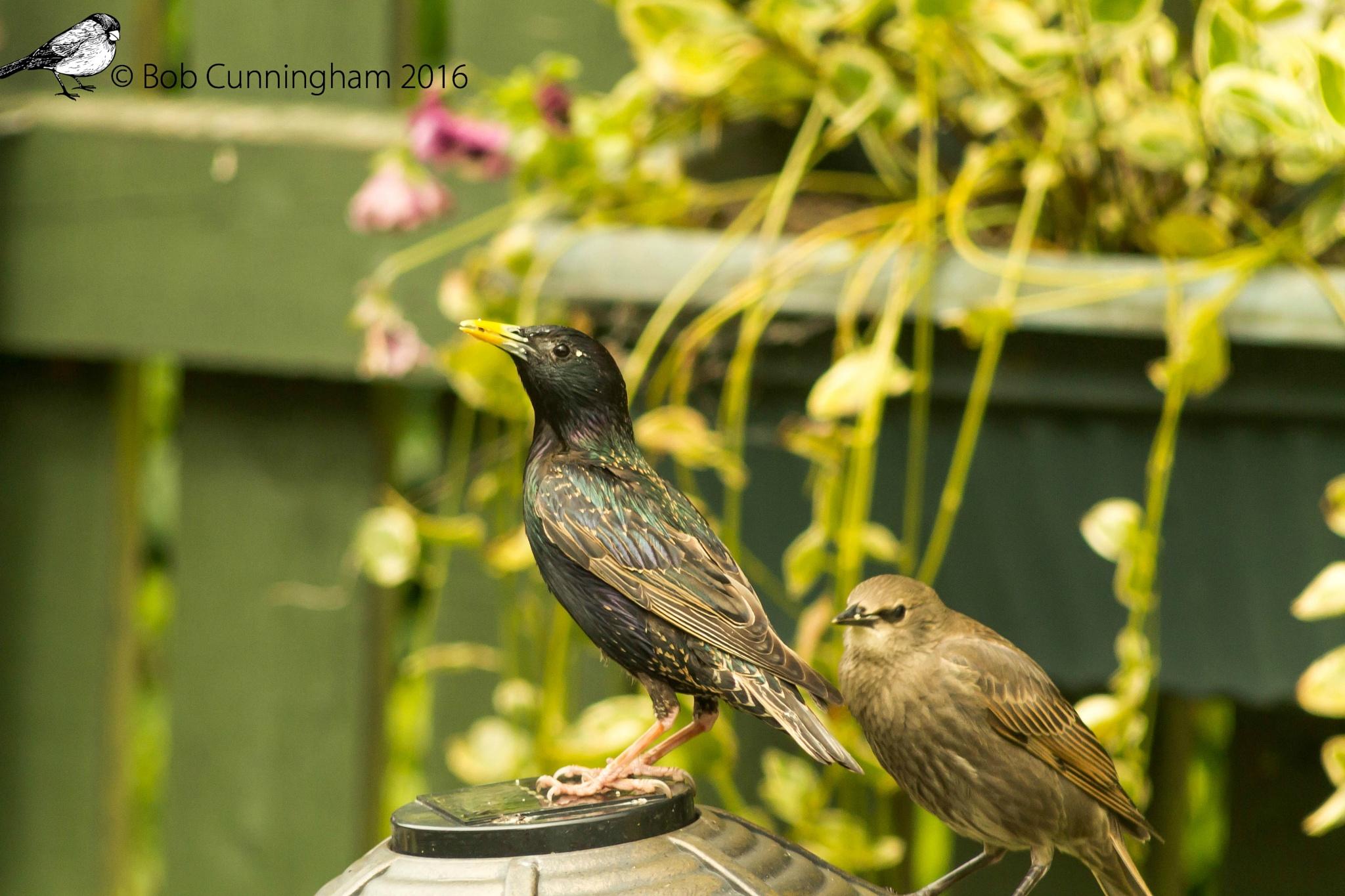 Starlings by bob.cunningham.56884