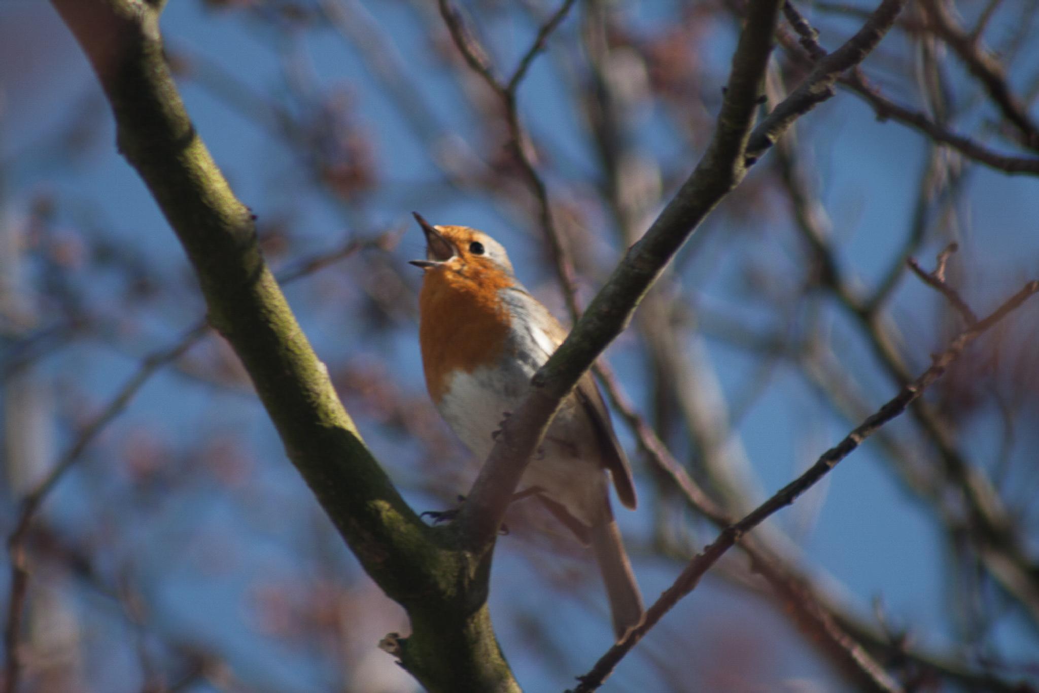 Robin singing in the sun. by bob.cunningham.56884