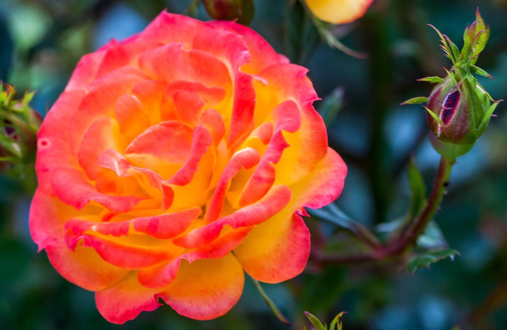 Beautiful Rose by bob.cunningham.56884
