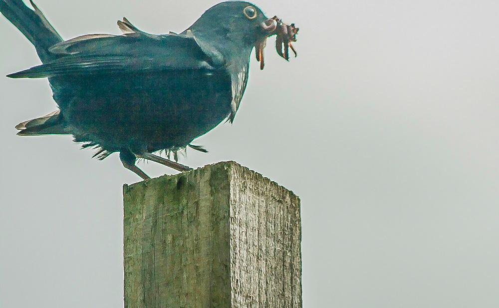 Blackbird by bob.cunningham.56884