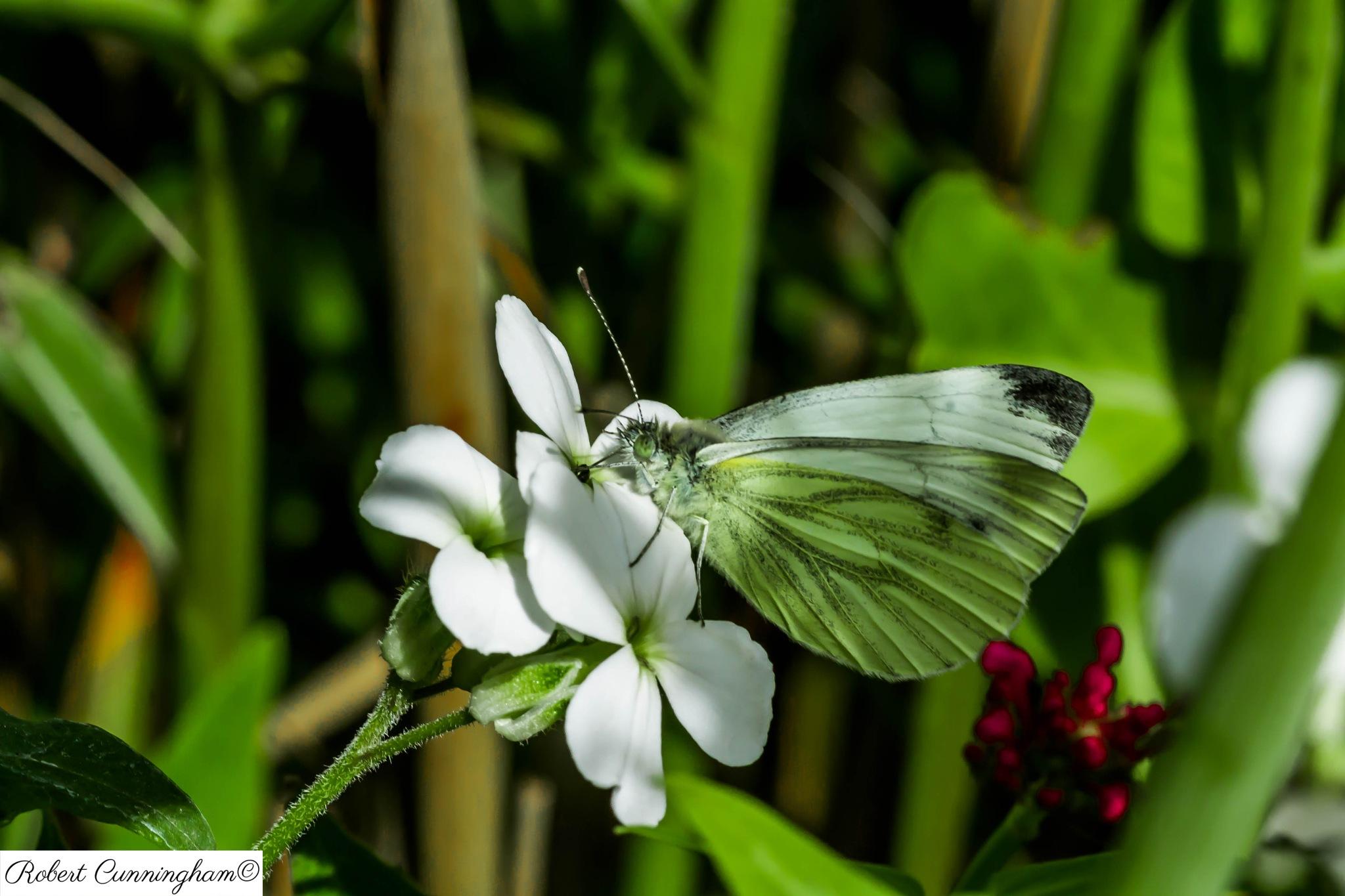Butterfly by bob.cunningham.56884