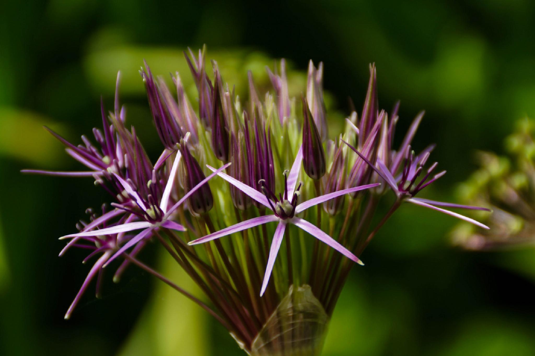 Purple by Jane.lindbladh