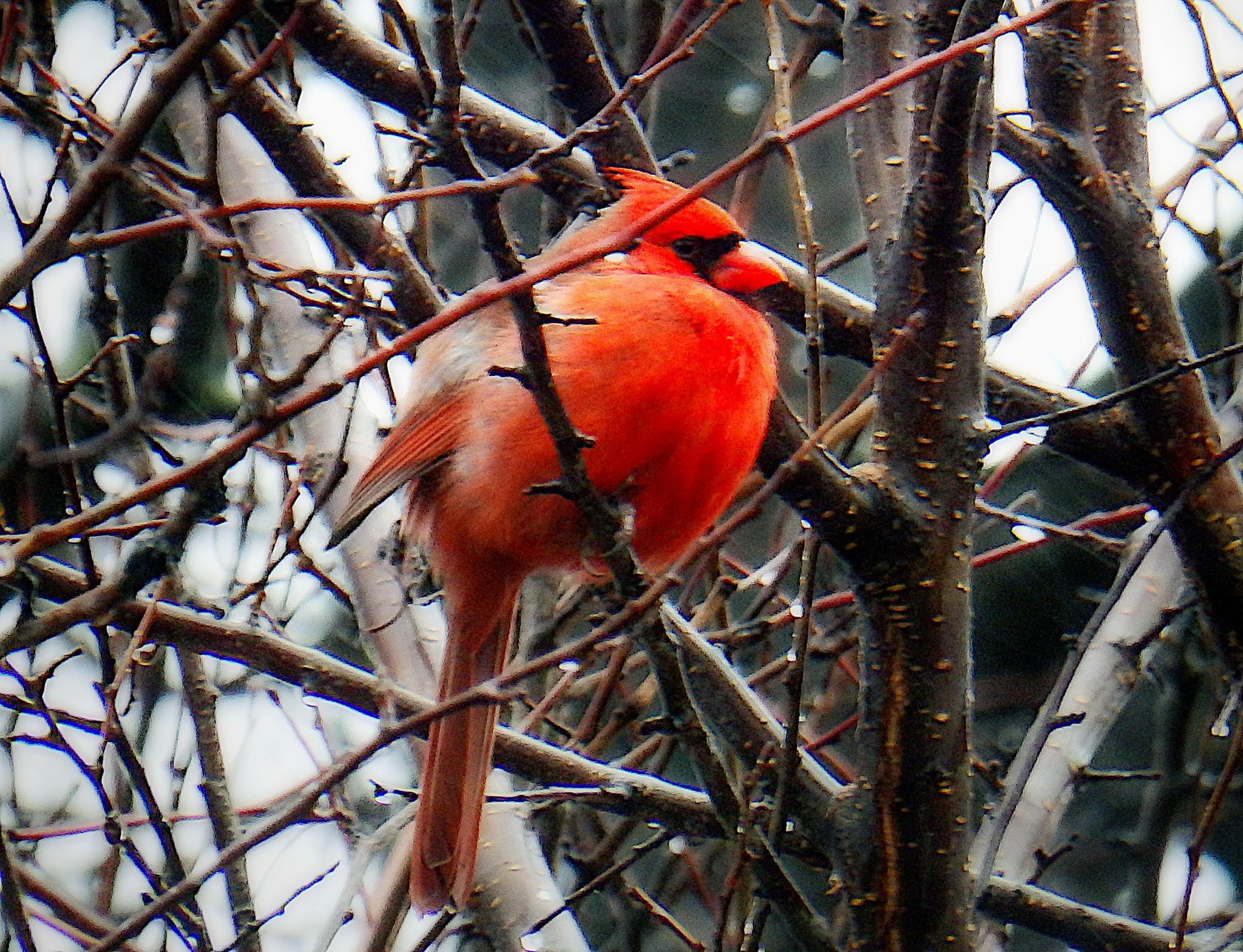 Male Cardinal by Darlene Eastin