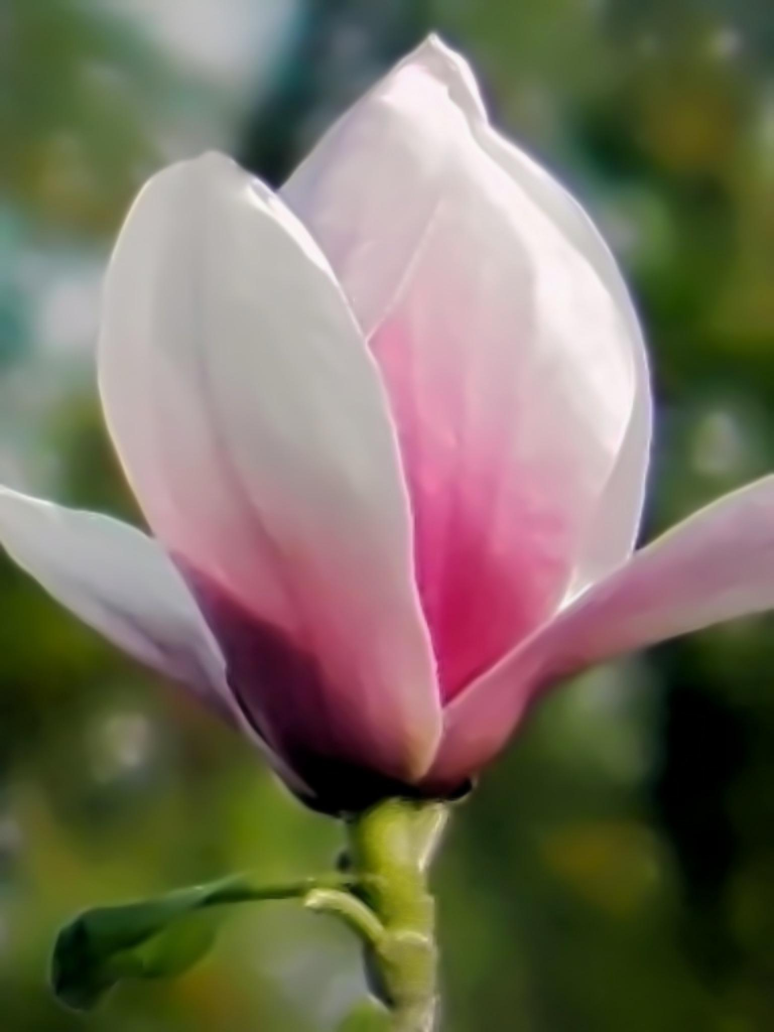 Tulip Tree Flower by Darlene Eastin