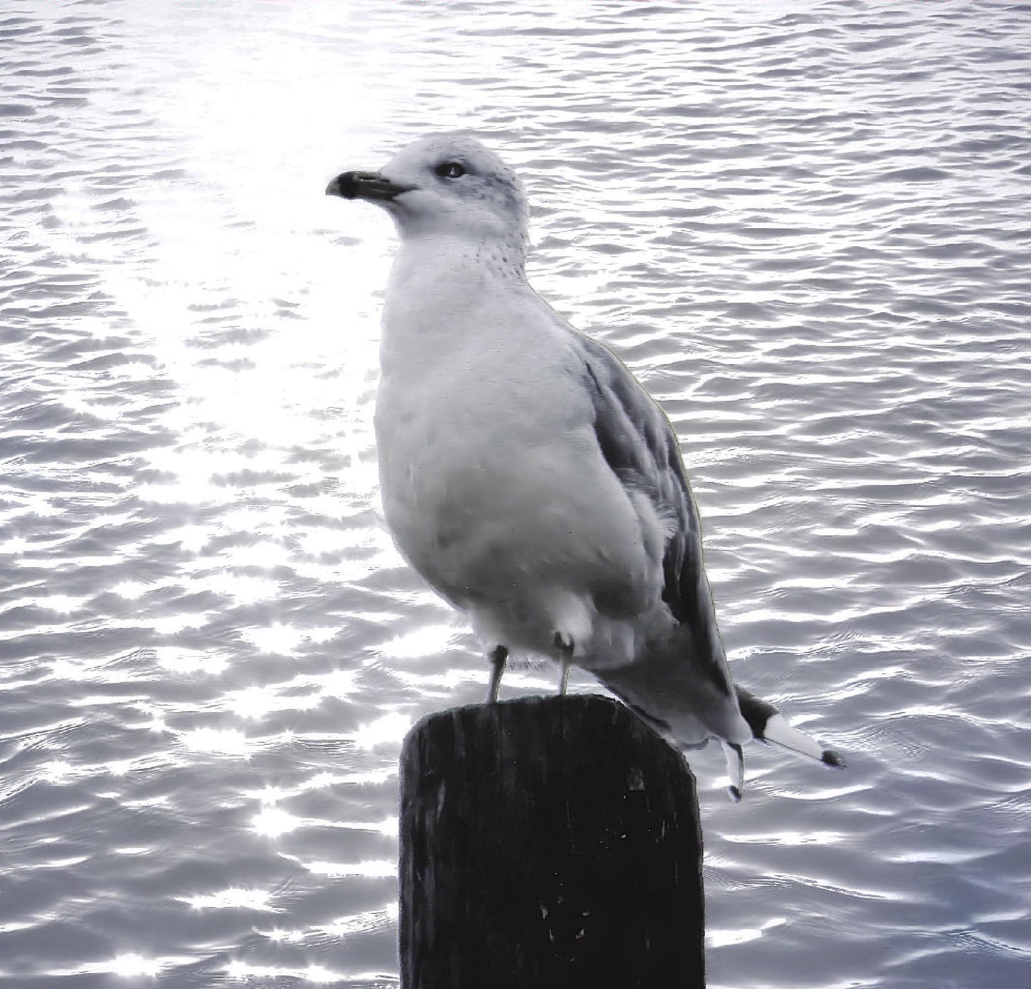 Seagull by Darlene Eastin