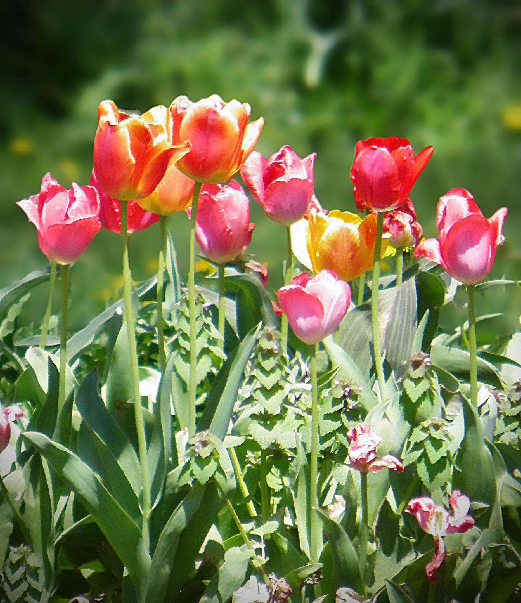 Colorful Tulips by Darlene Eastin