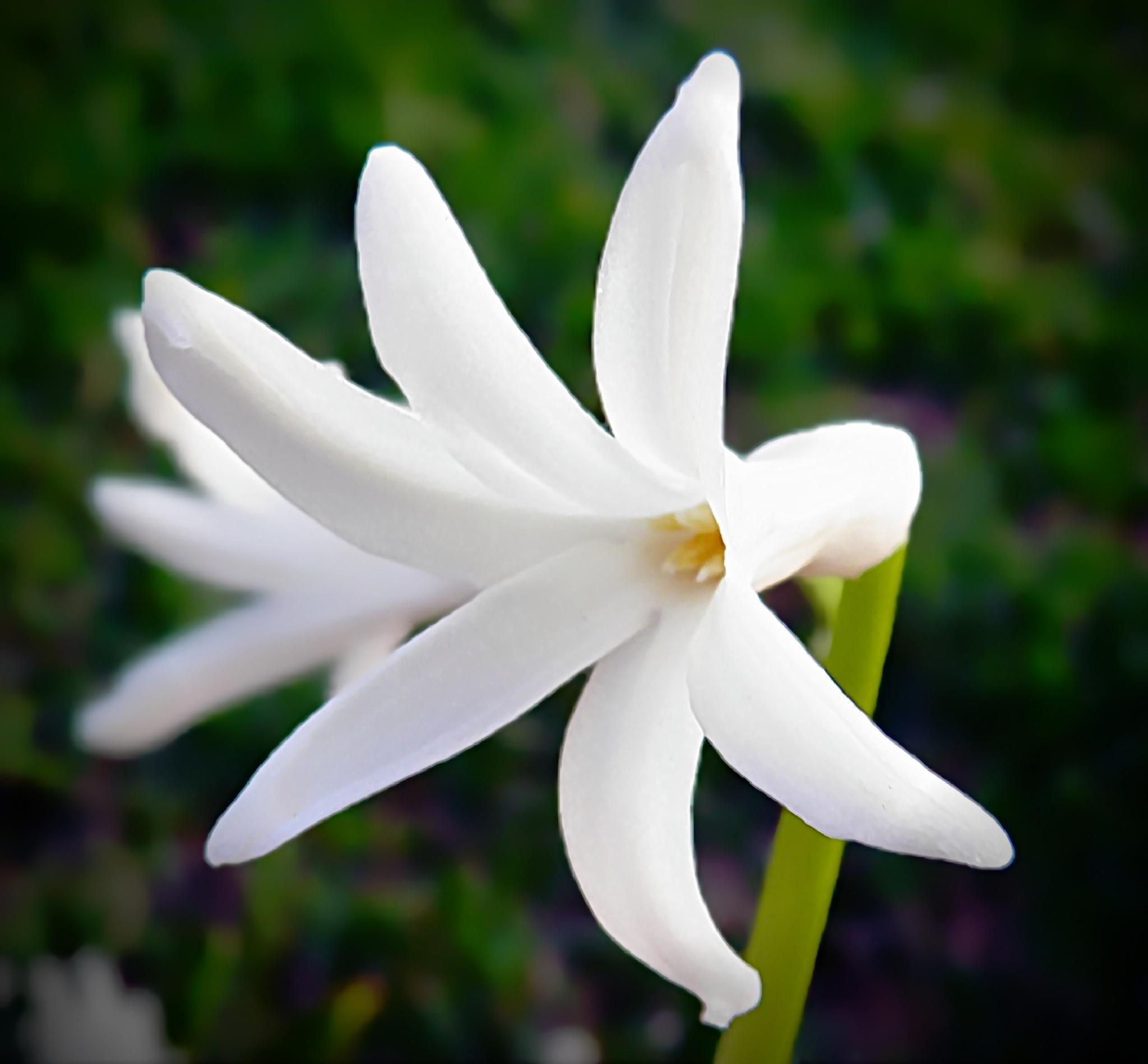 Hyacinth Flower by Darlene Eastin