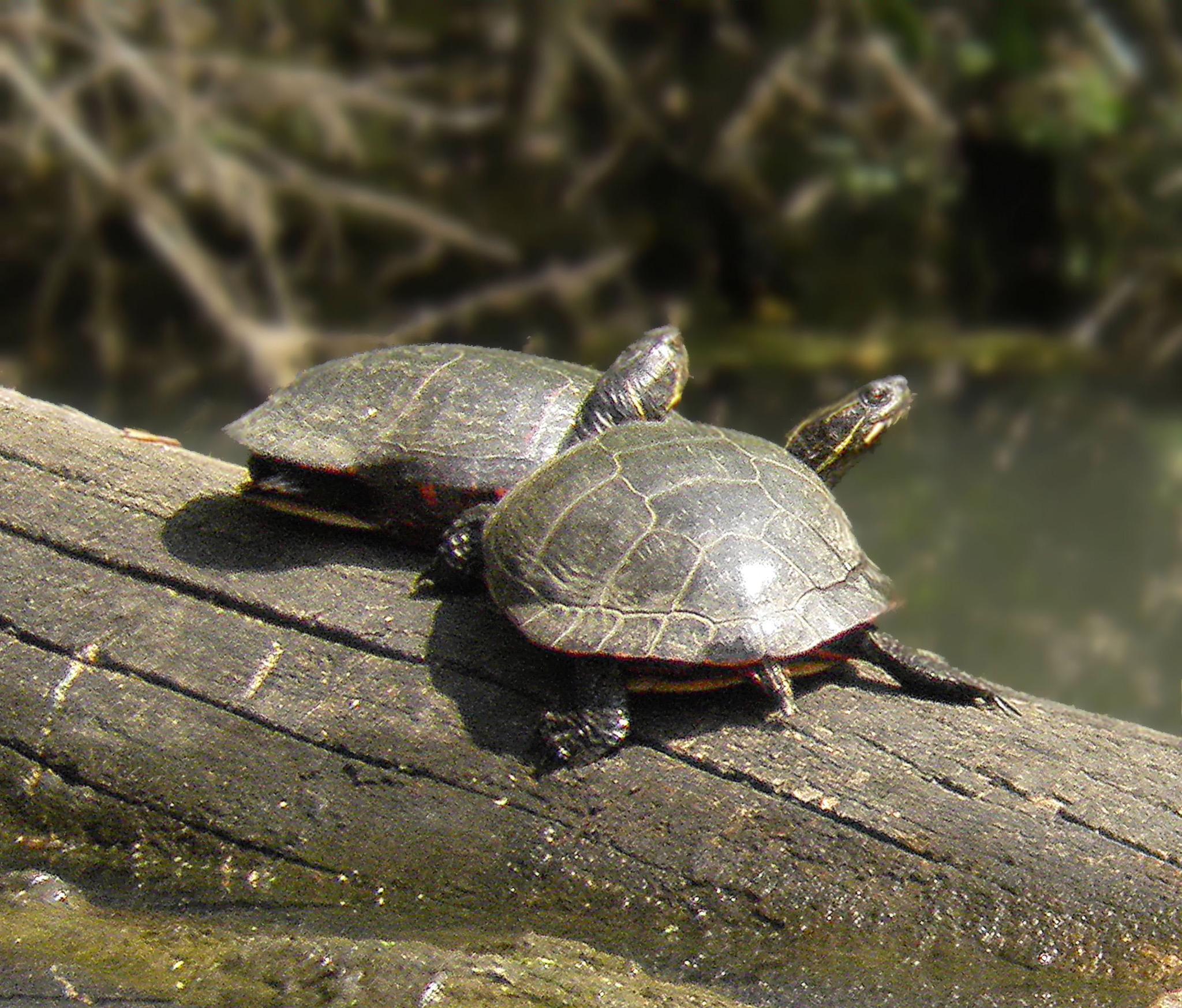 Turtles by Darlene Eastin