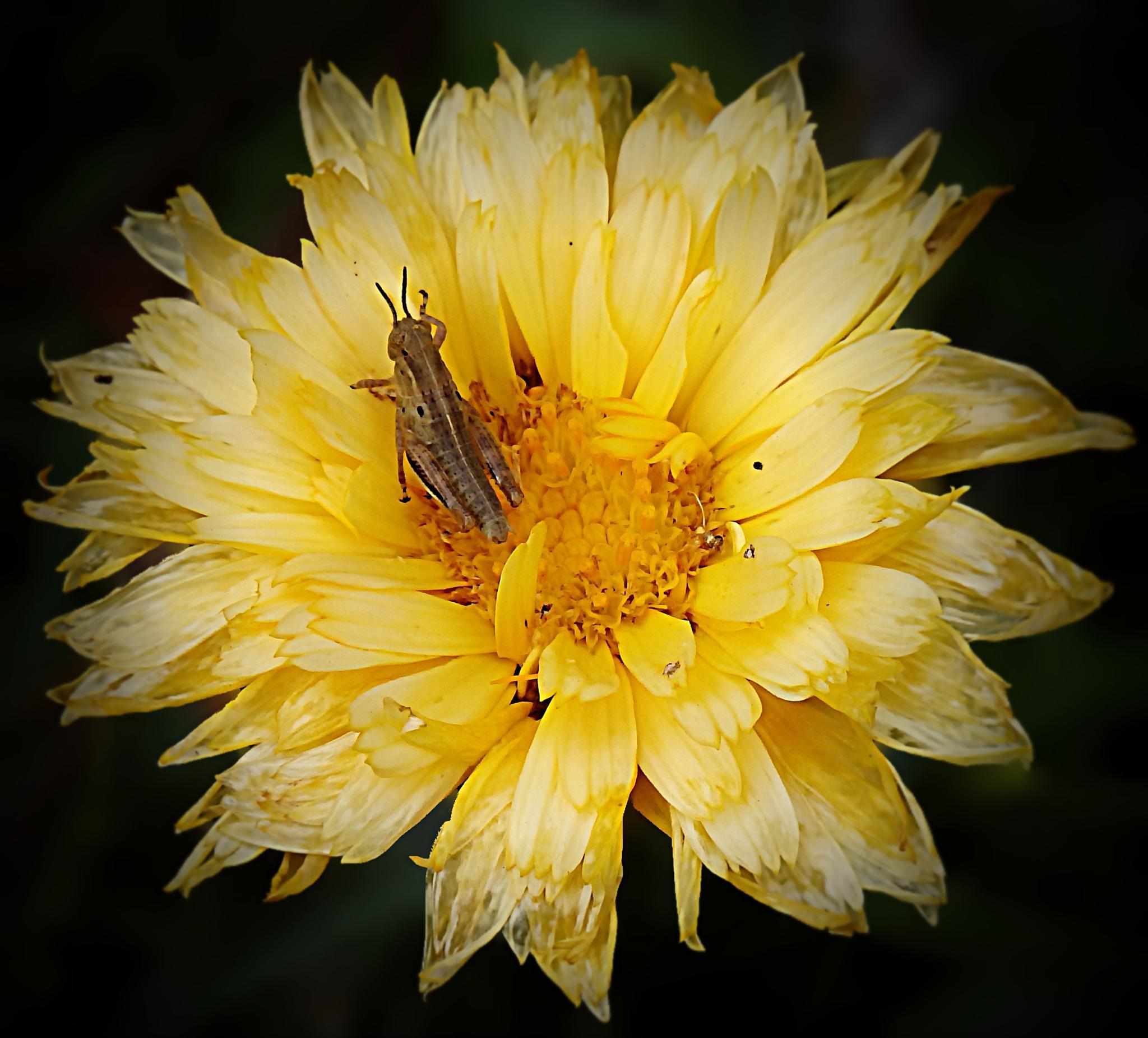 Grasshopper On Wilting Flower by Darlene Eastin