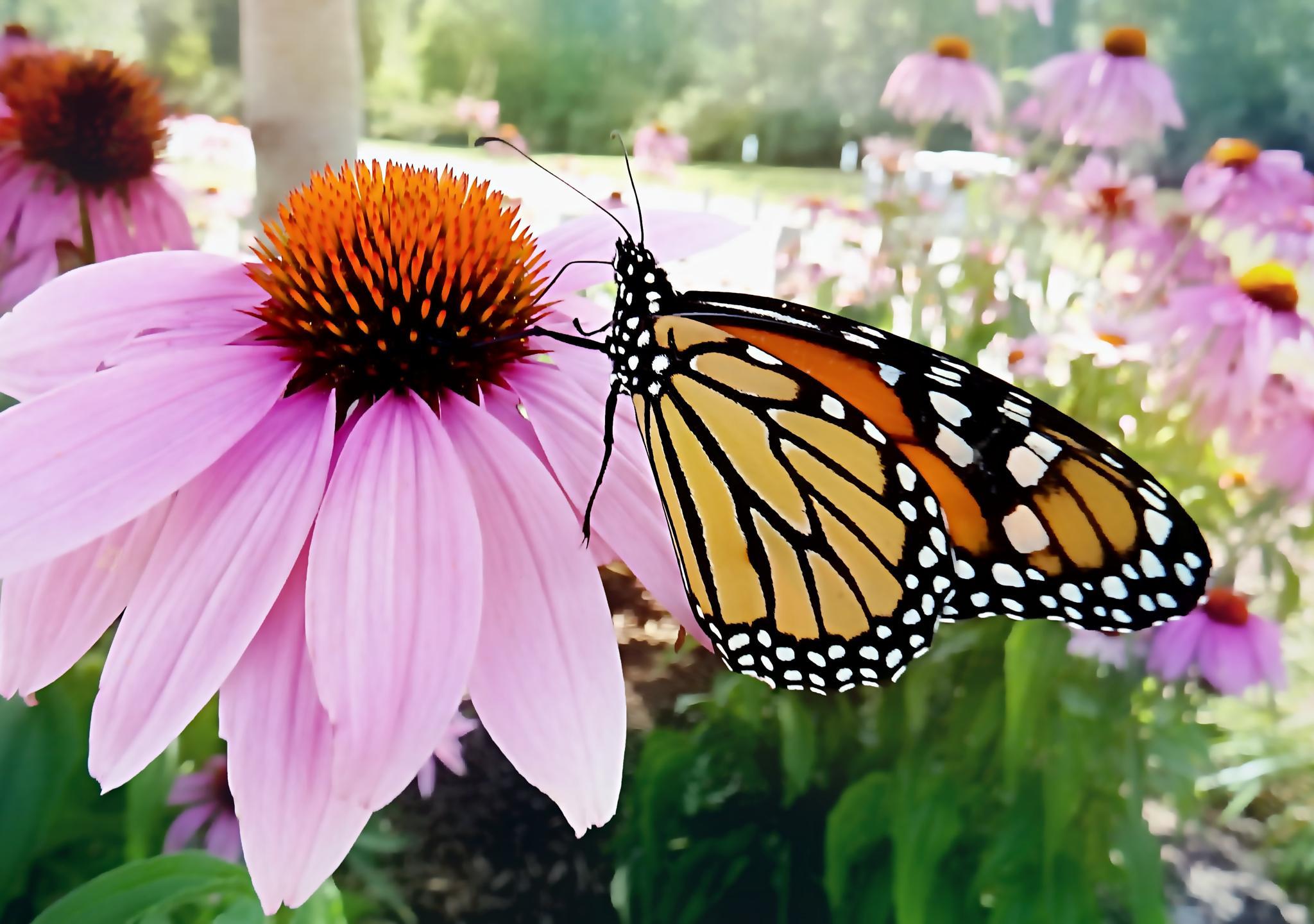 Monarch Butterfly by Darlene Eastin