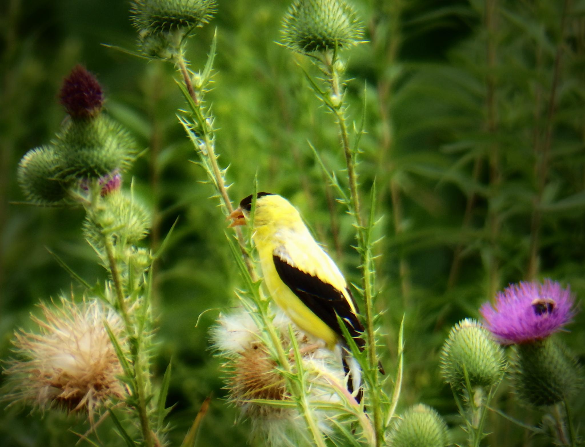 Gold Finch by Darlene Eastin
