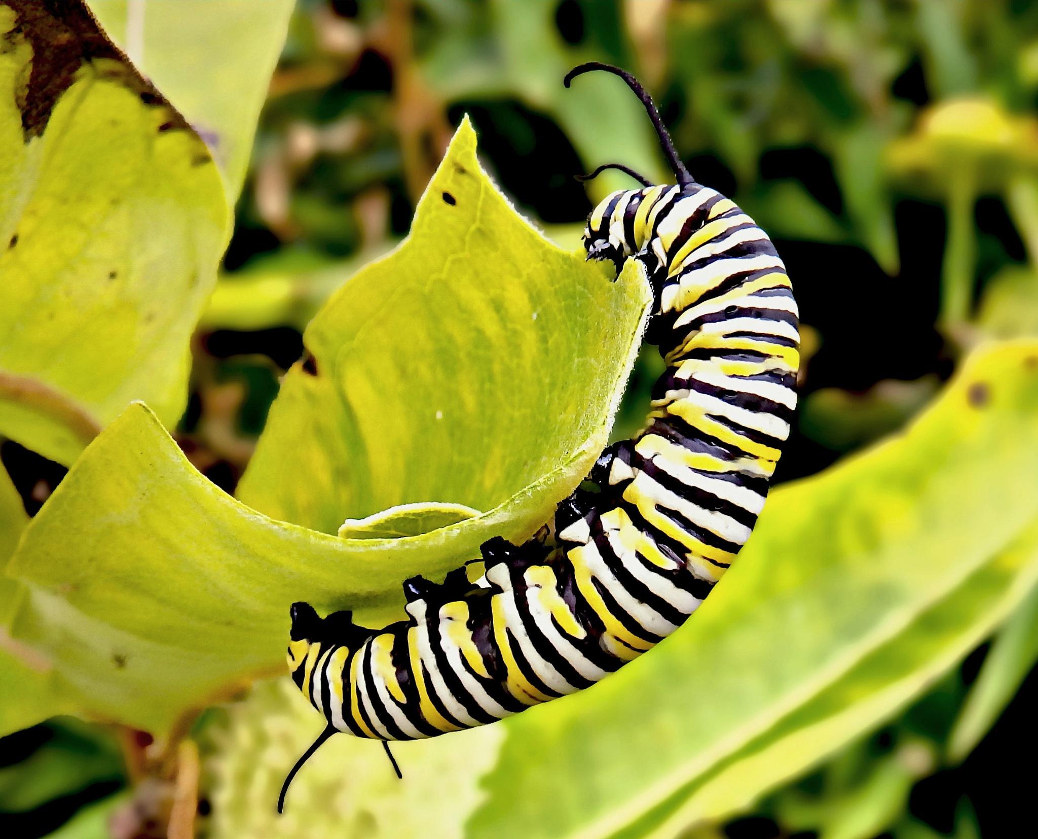 Hungry Caterpillar  by Darlene Eastin