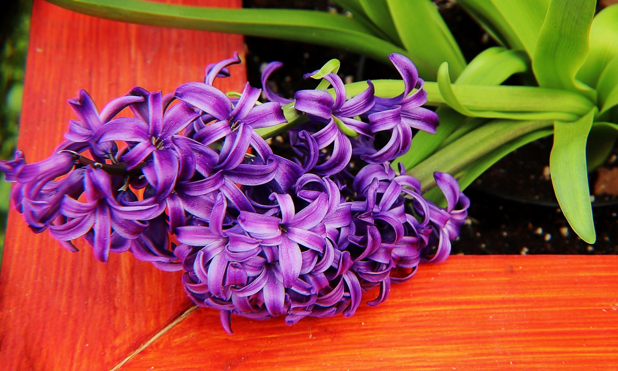 Purple Hyacinth by Darlene Eastin