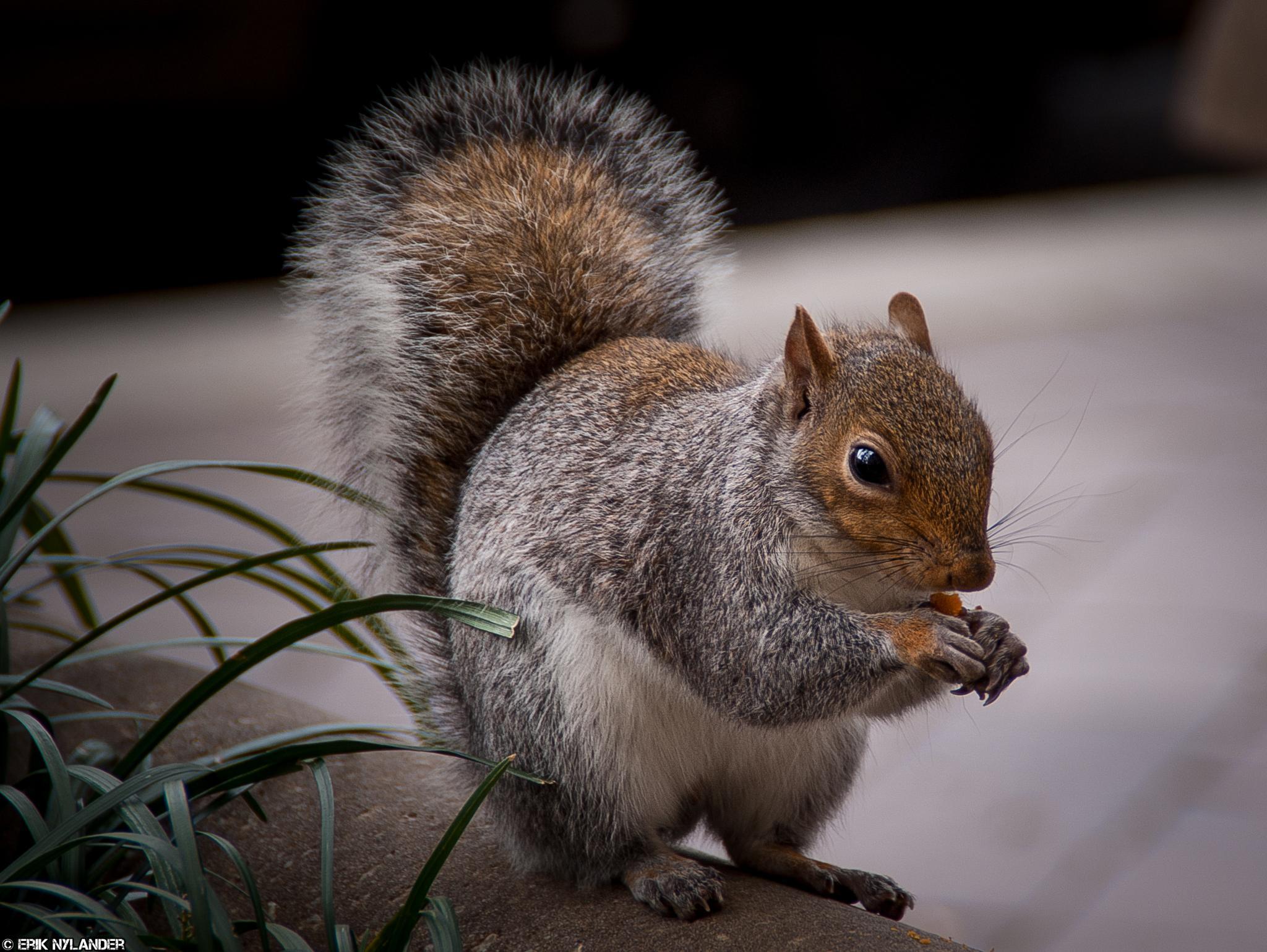 Squirrel by Erik Nylander