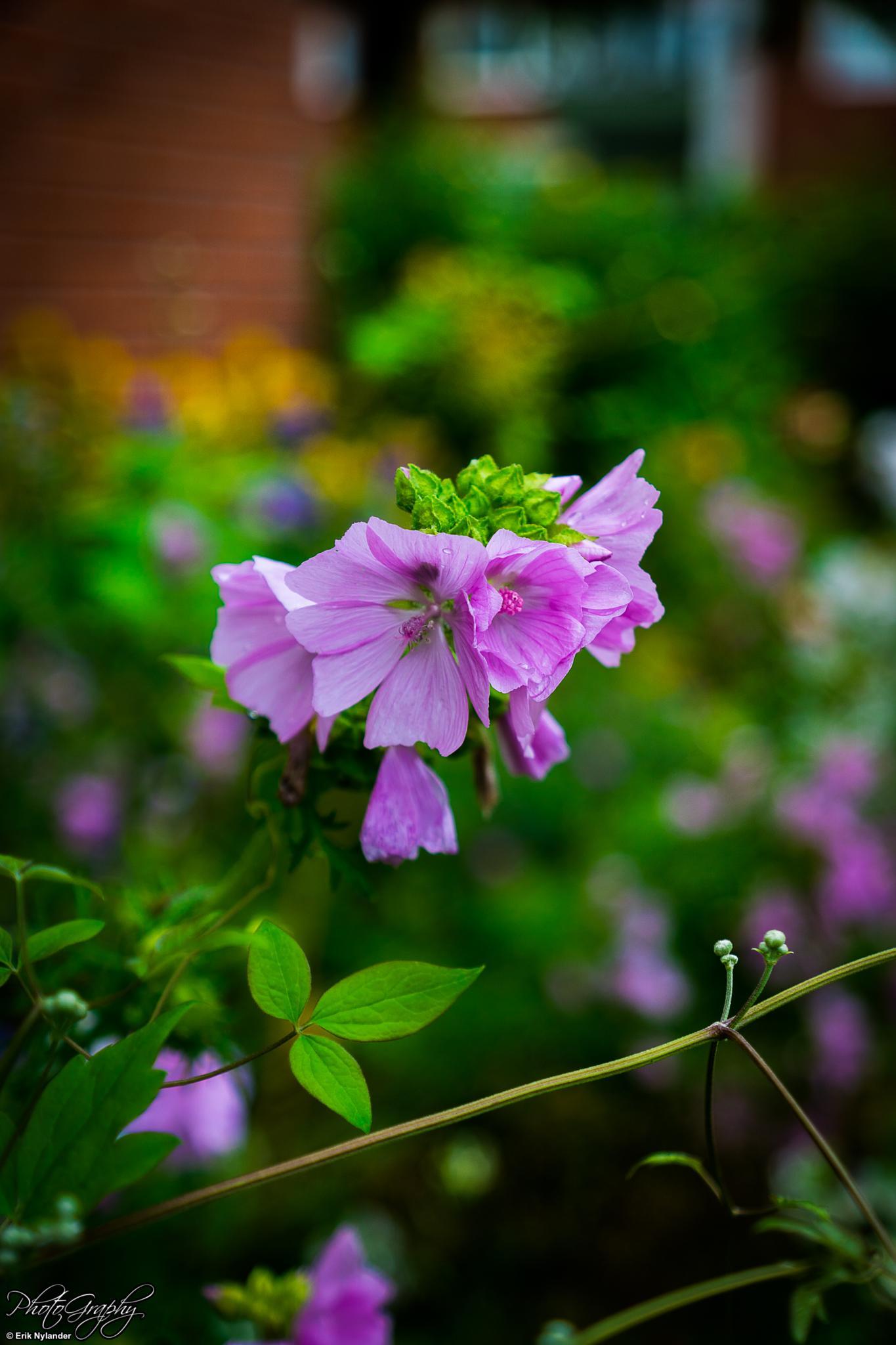 Purple flower by Erik Nylander