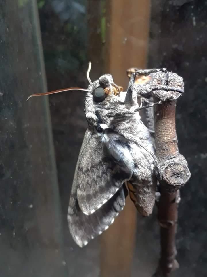 sphinx moth  by sheri.larkin.3