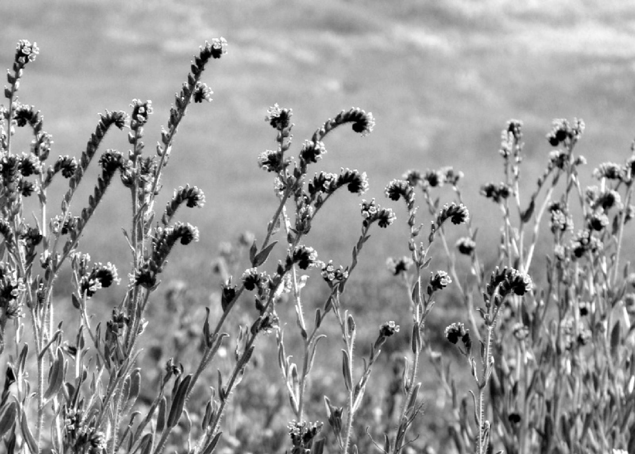 Wildflowers in Black and White by laurieleblancrickaby
