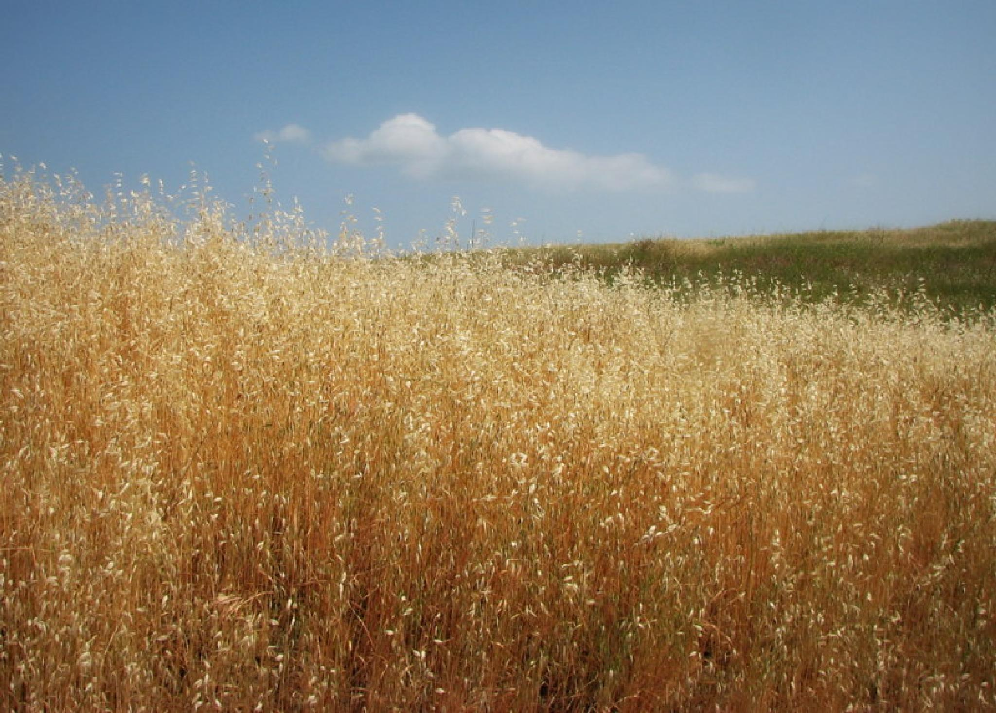 Fields of Gold by laurieleblancrickaby