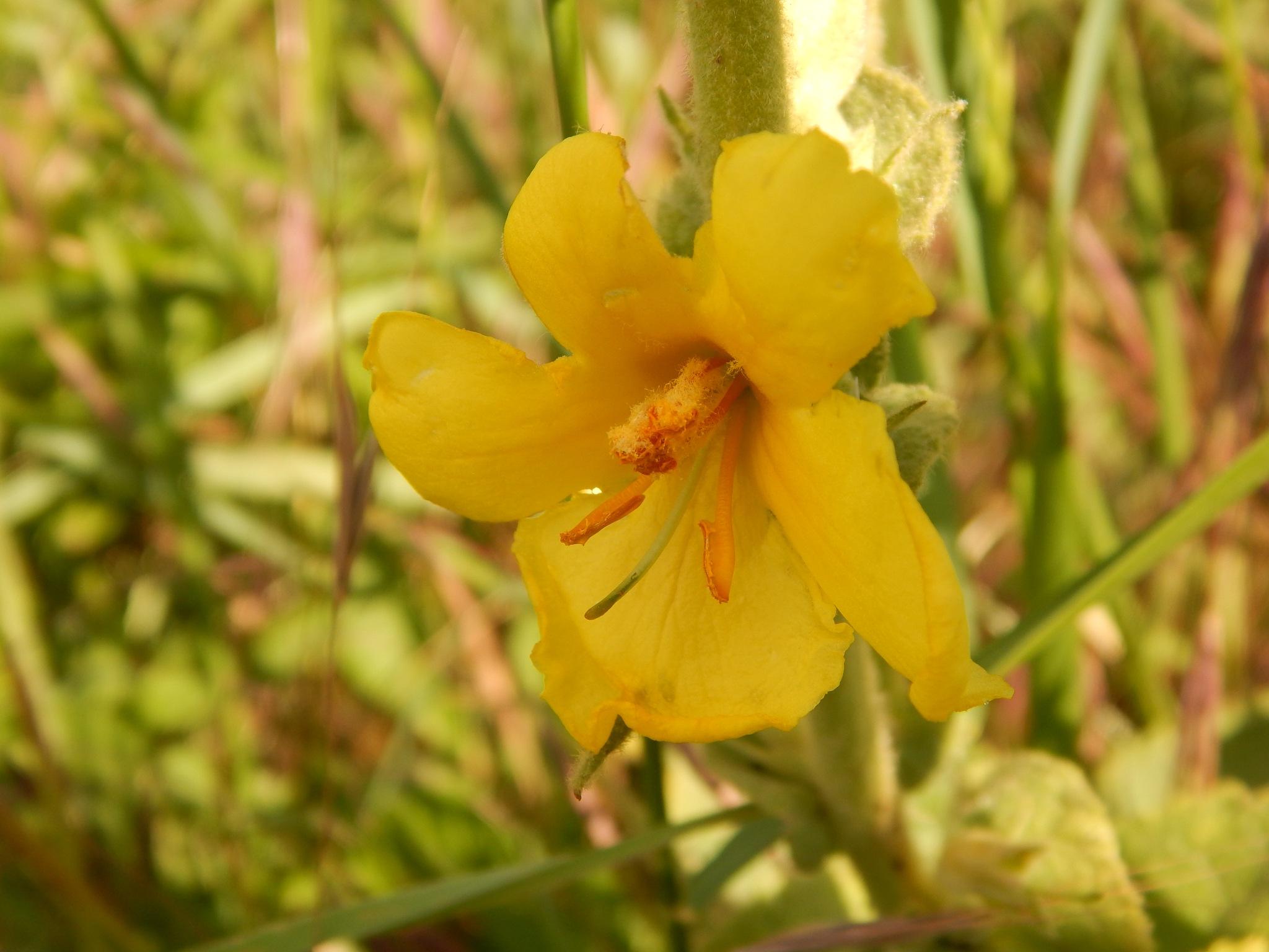 Verbascum phlomoides by Goran Vuletic