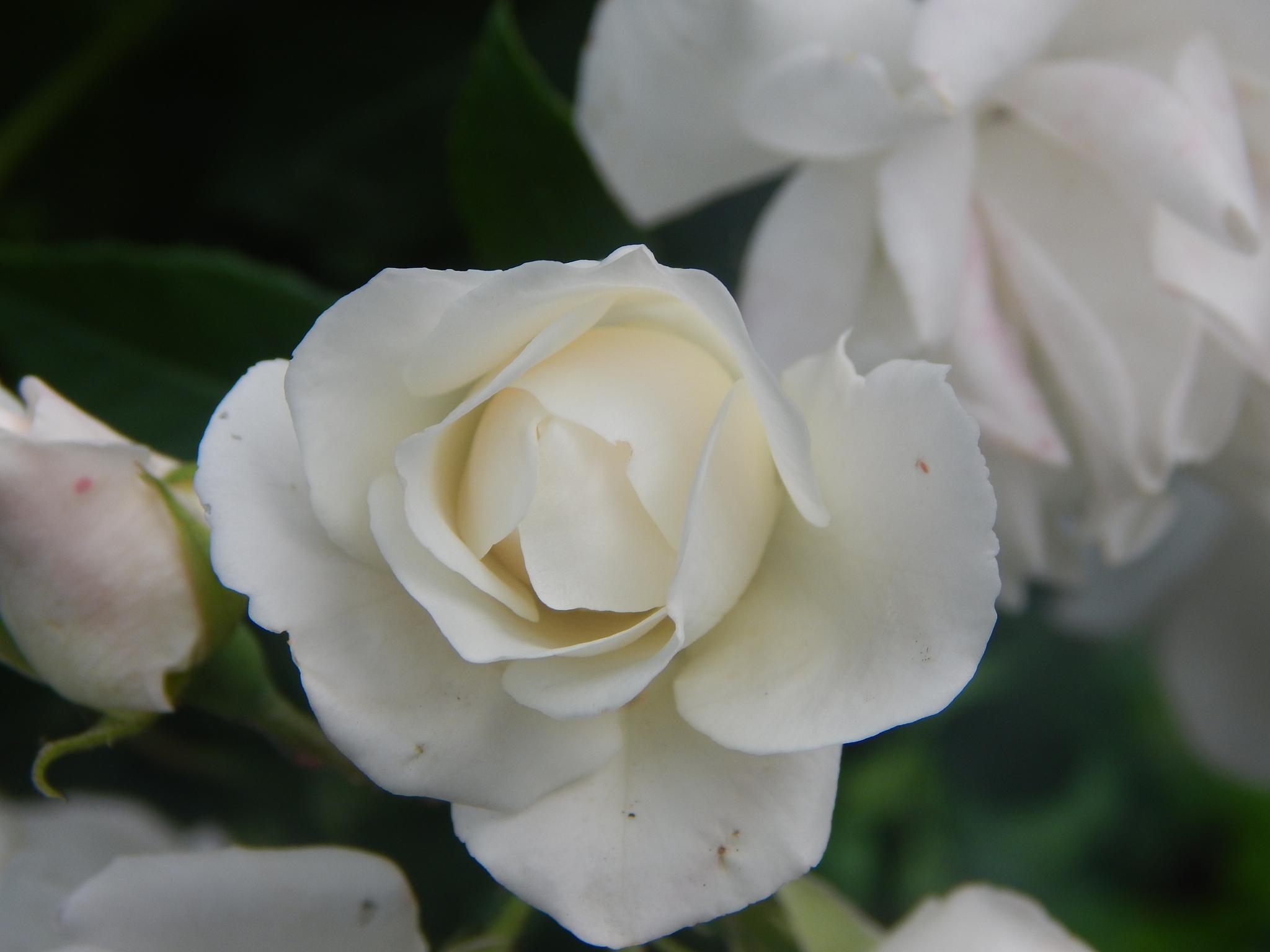 white rose by Goran Vuletic