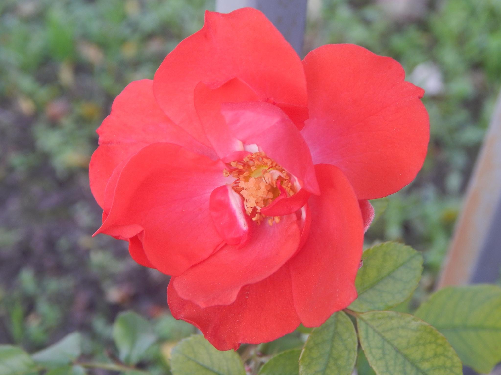 red rose by Goran Vuletic