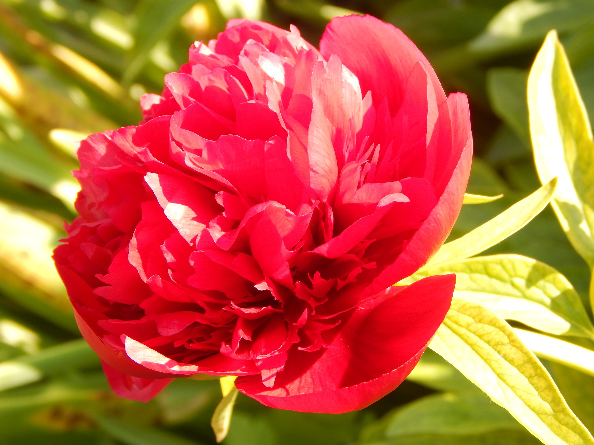 red Paeonia by Goran Vuletic