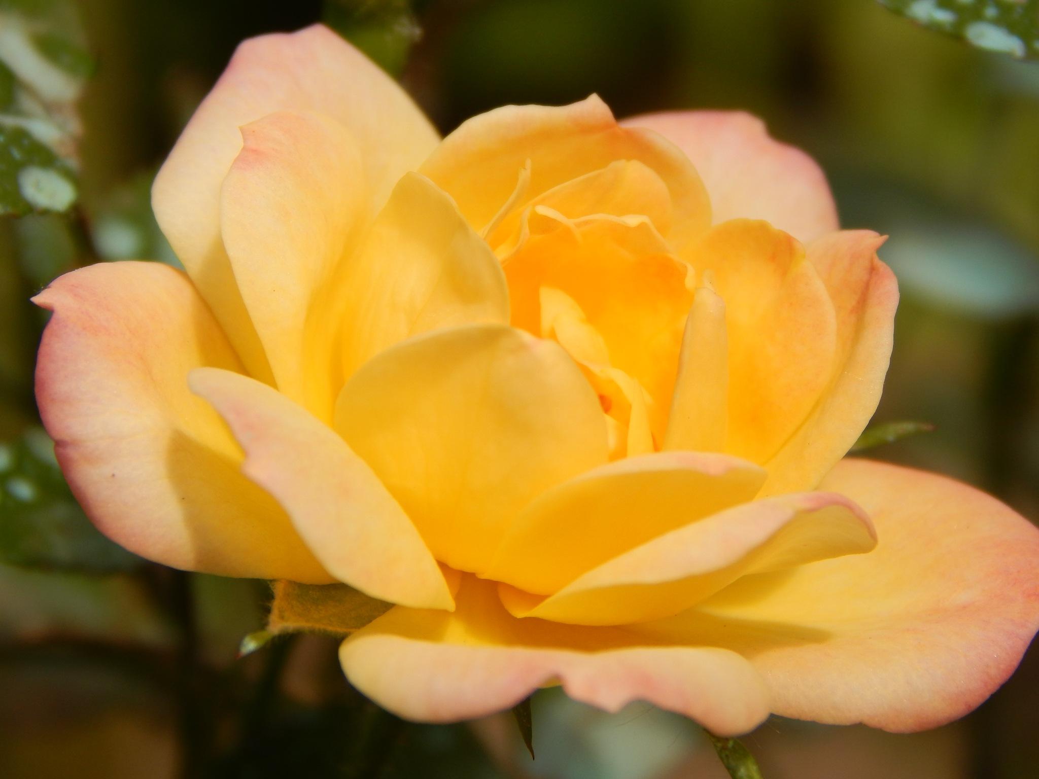 rose by Goran Vuletic