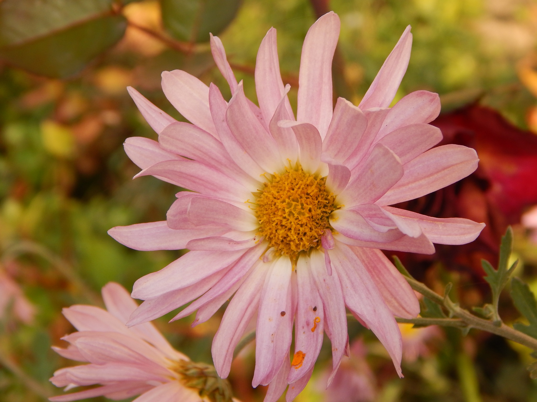 Chrysanthemum by Goran Vuletic