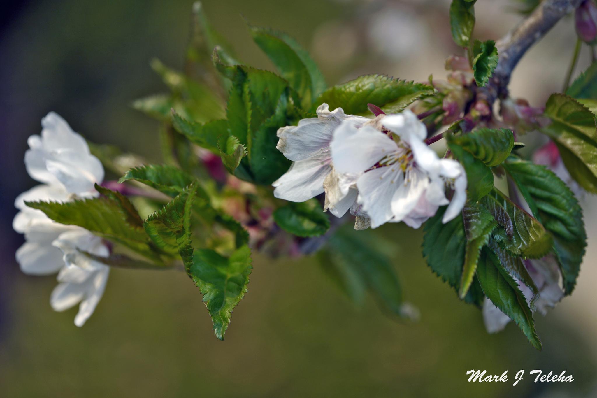 Photo in Random #tree bloom #flower #flowering tree