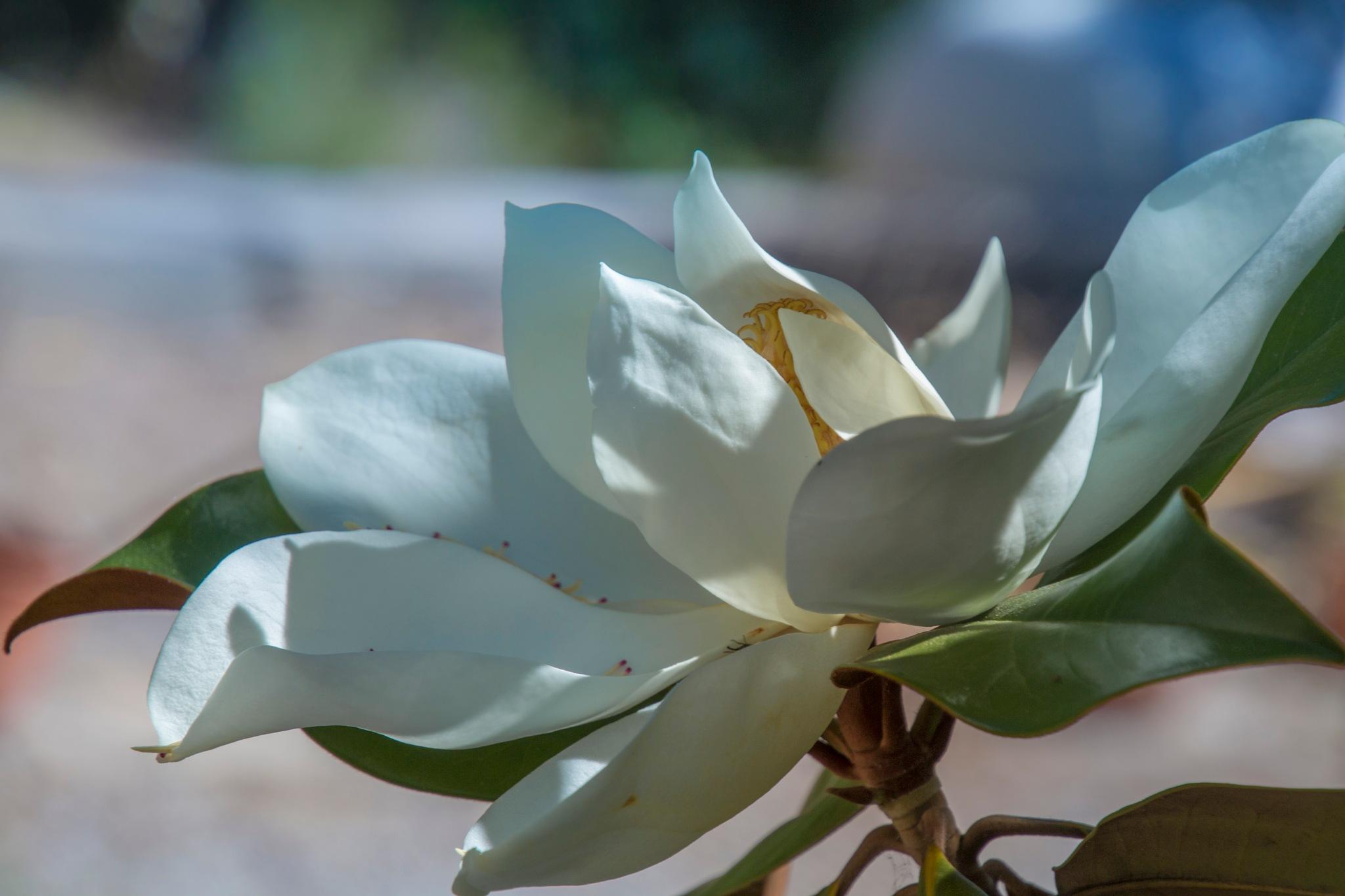 magnolia by carmenvich