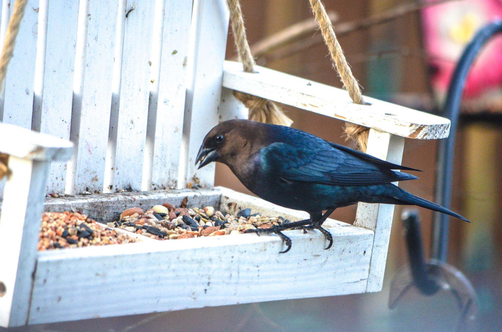 Gumpy Grackle!  They always look so mad at the world!  LOL by kathy.herriottmeyers