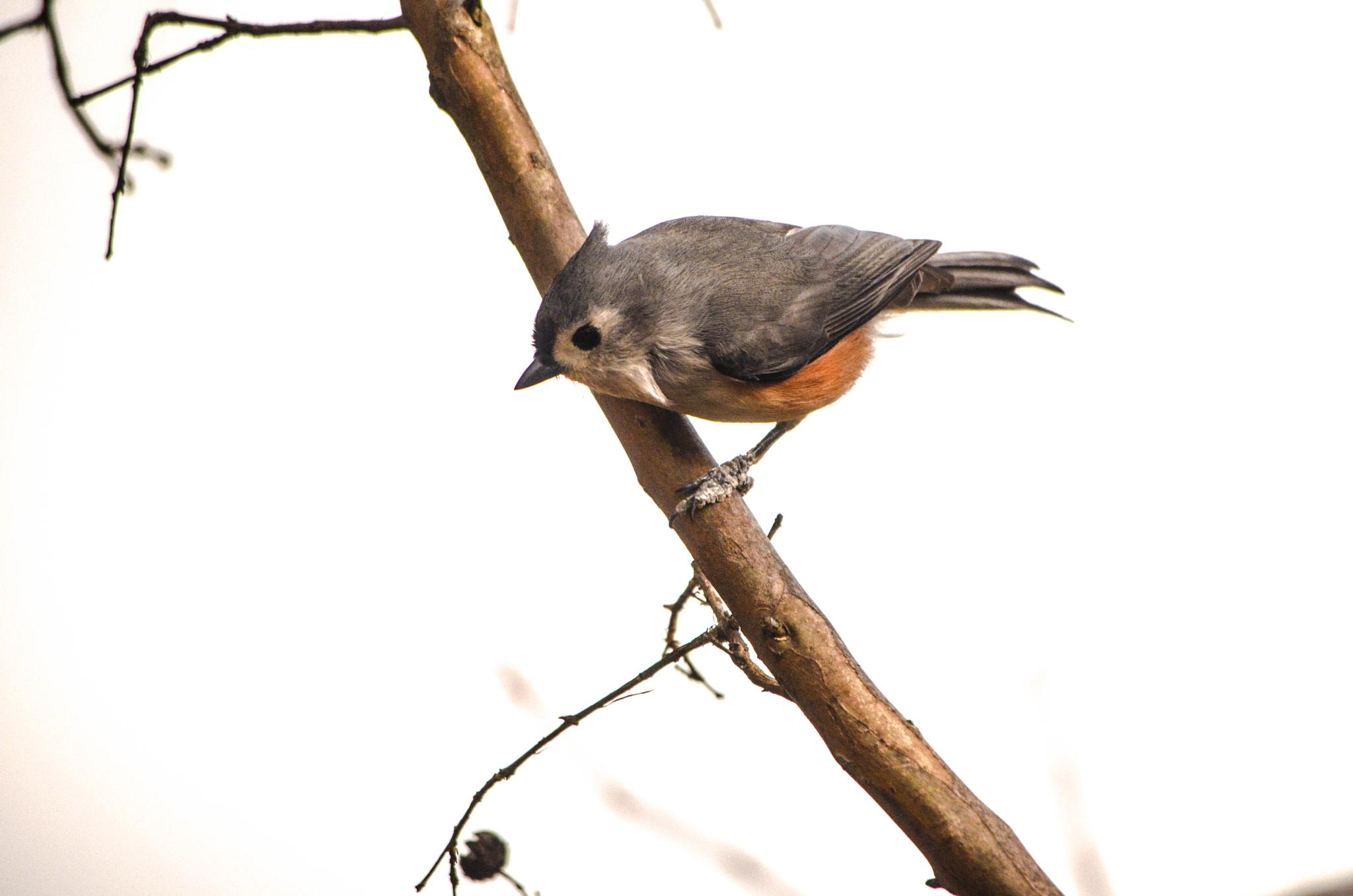 Tufted Titmouse! by kathy.herriottmeyers