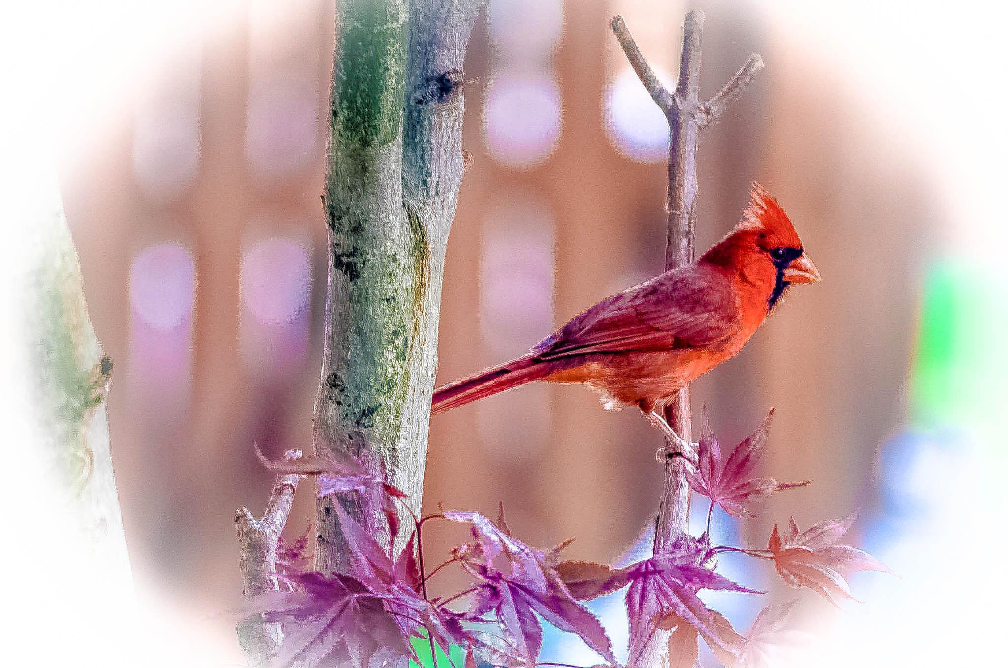Male Cardinal!   by kathy.herriottmeyers