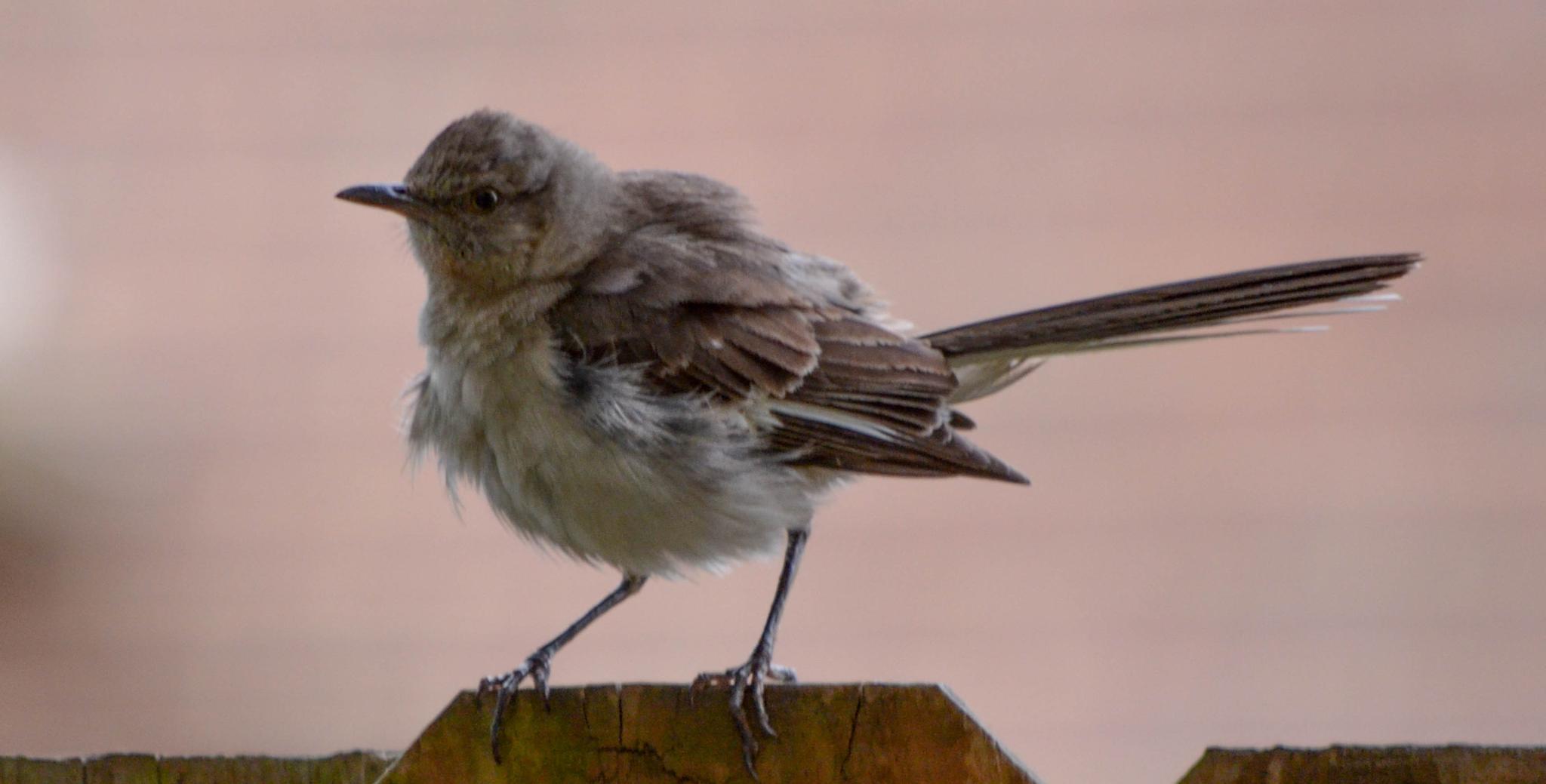 Baby MockingBird!  :)   by kathy.herriottmeyers