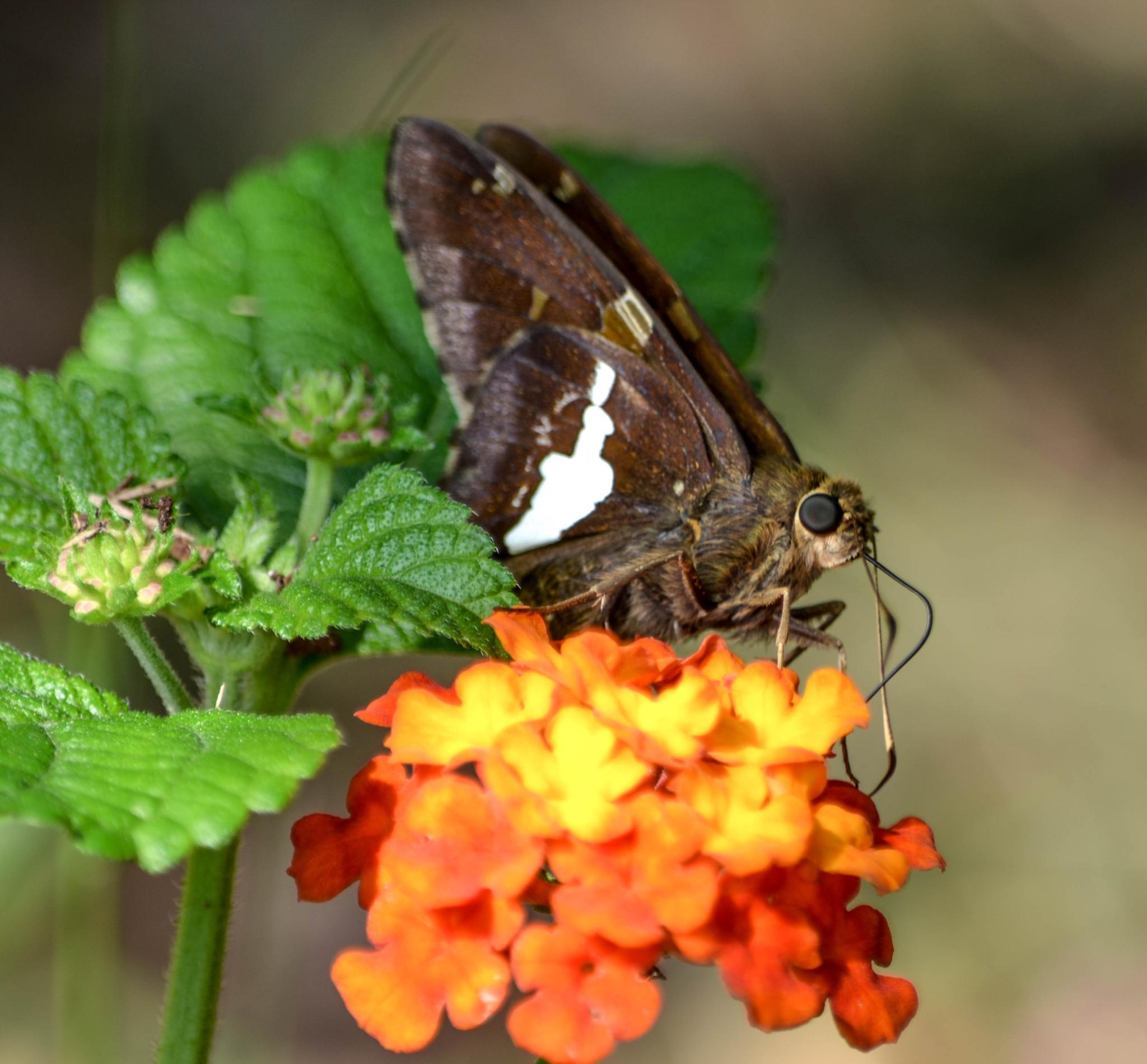 Butterfly Enjoying the Lantana!   by kathy.herriottmeyers