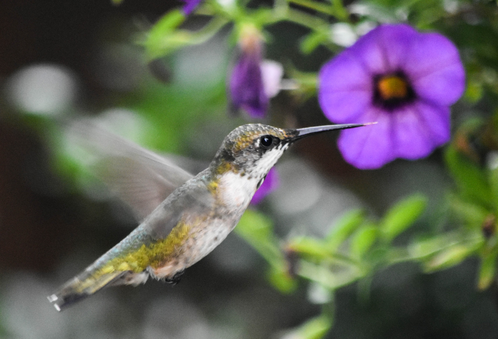Humming Bird!!   by kathy.herriottmeyers