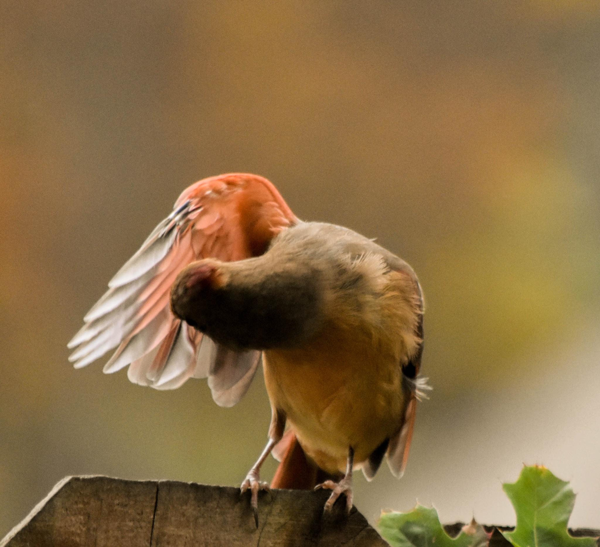 Olivia Grooming Her Wings!  :)   by kathy.herriottmeyers