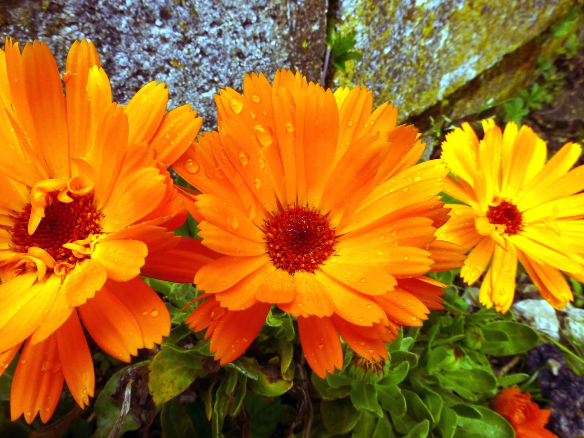marigolds by peppe953