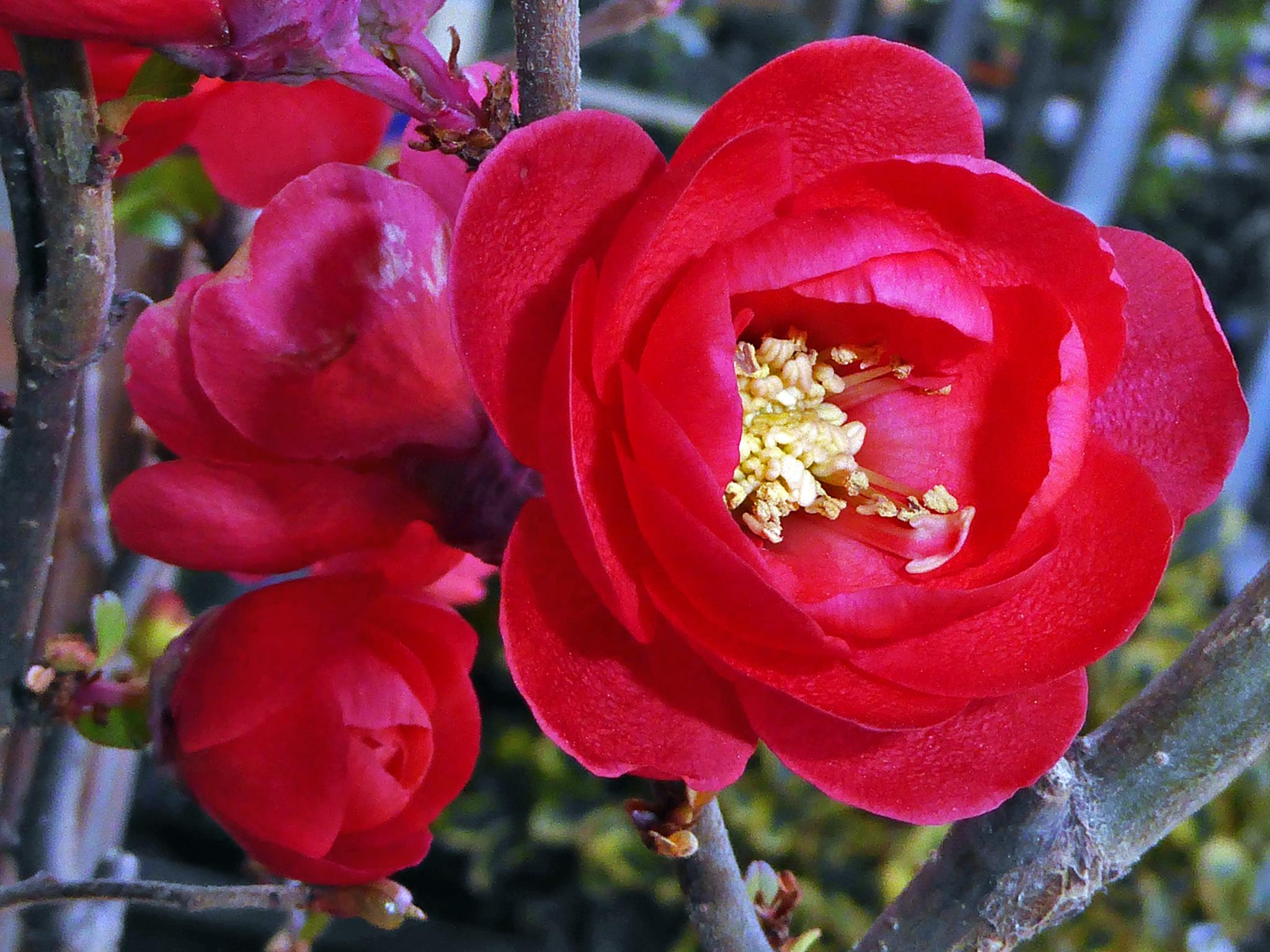 Chaenomeles japonica by peppe953