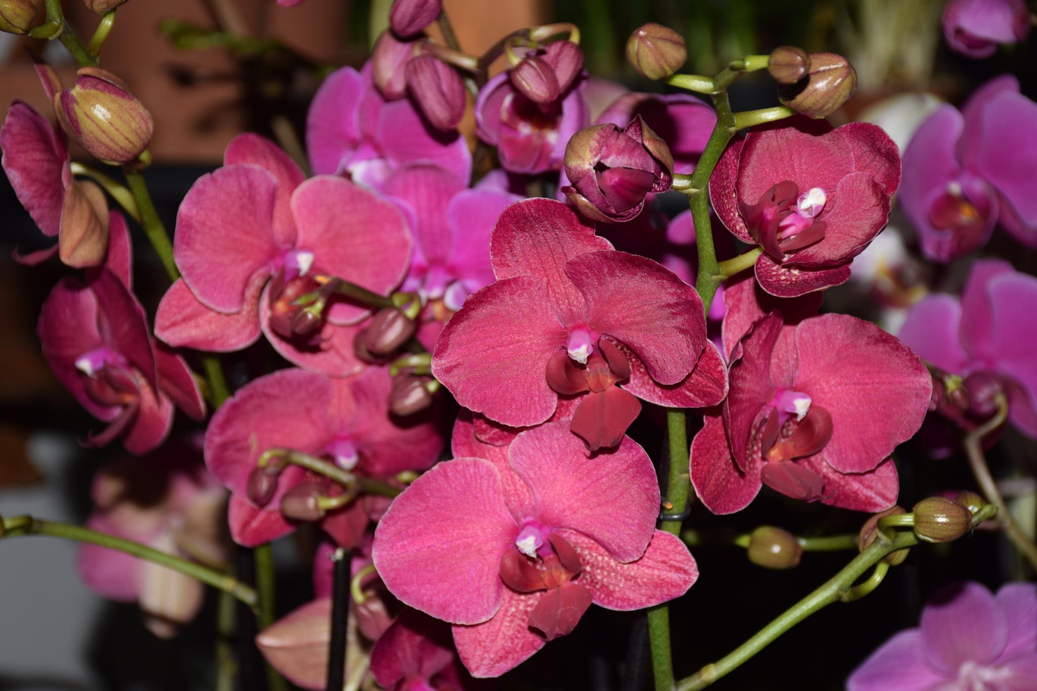 Phalaenopsis by peppe953