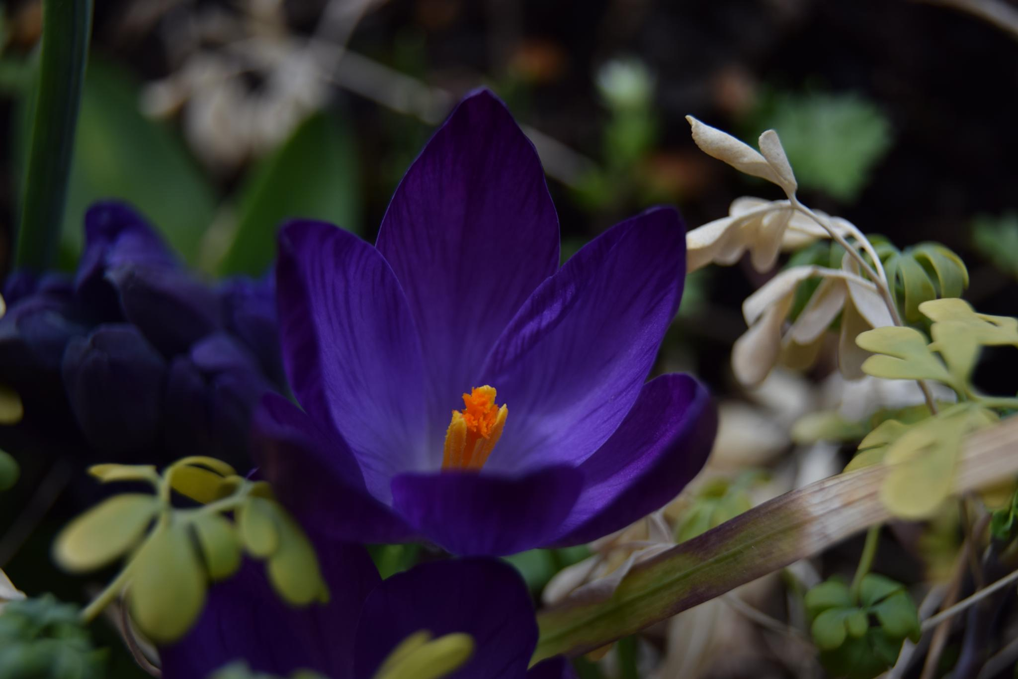 Crocus by peppe953