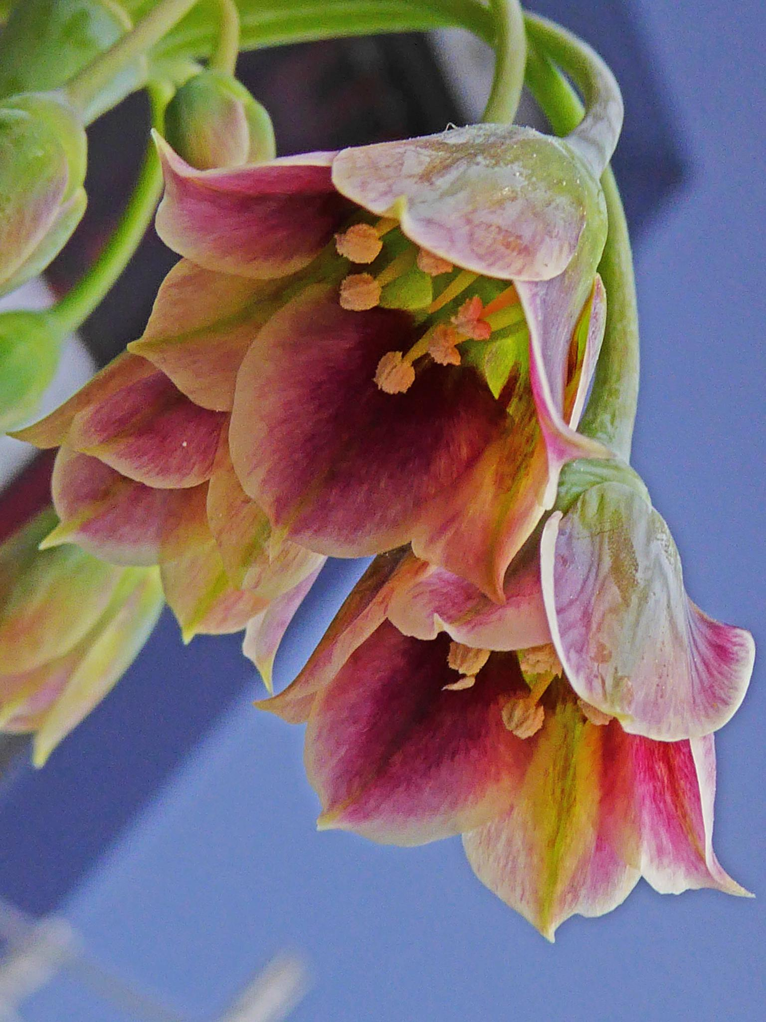 Nectaroscordum siculum by peppe953