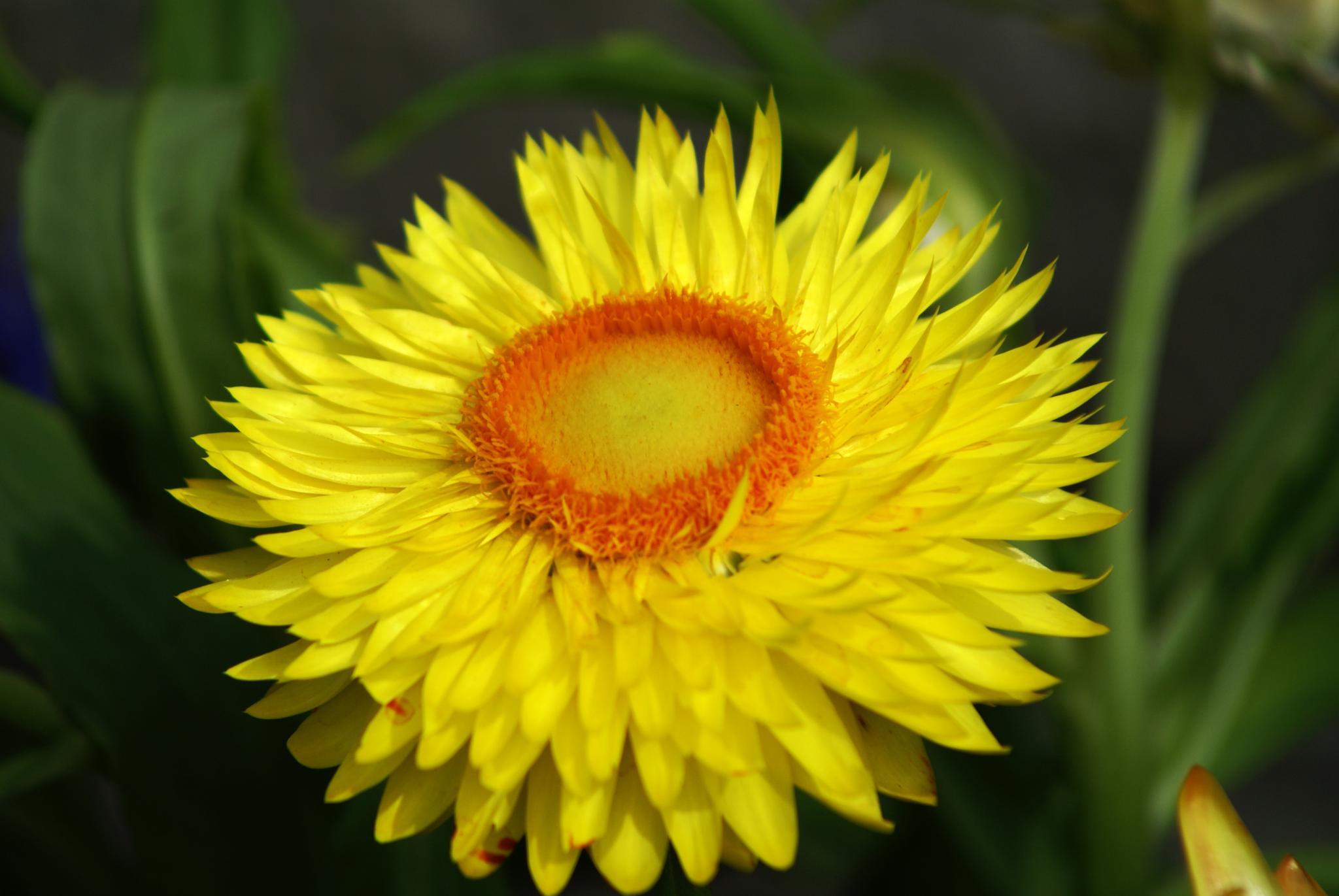 Helichrysum bracteatum by peppe953