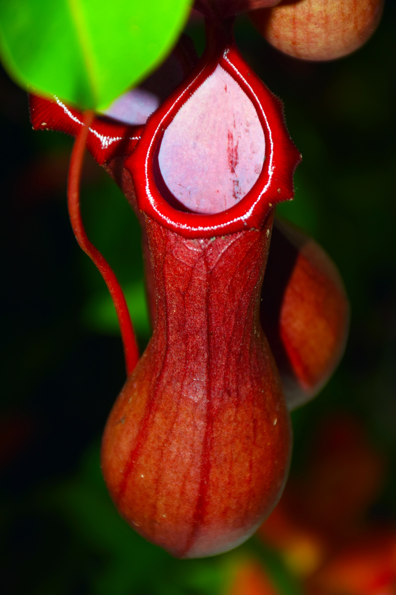 Nepenthes by peppe953