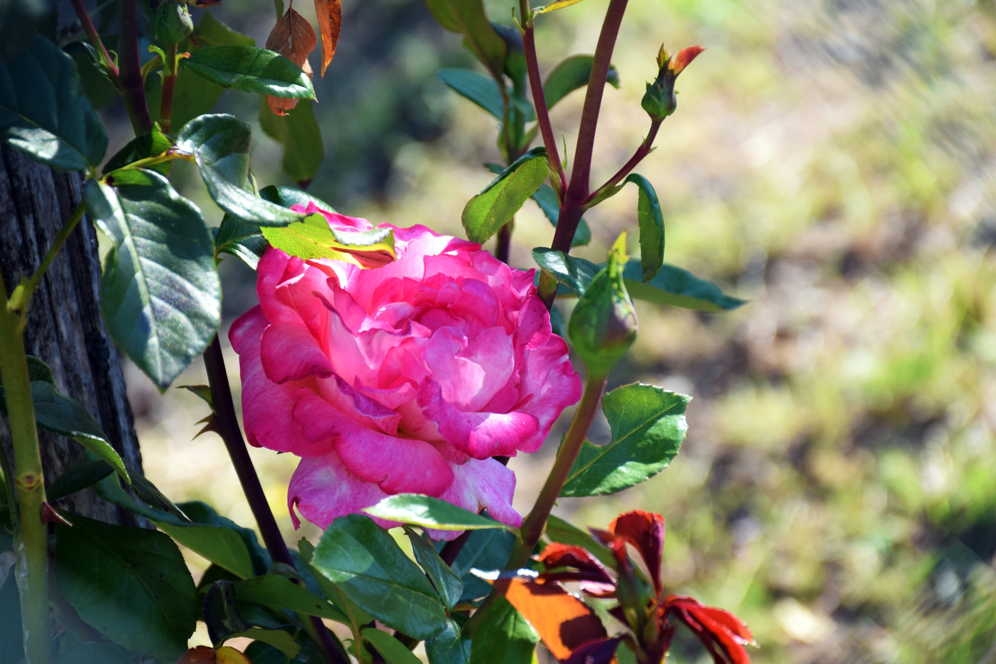 Rosa by peppe953