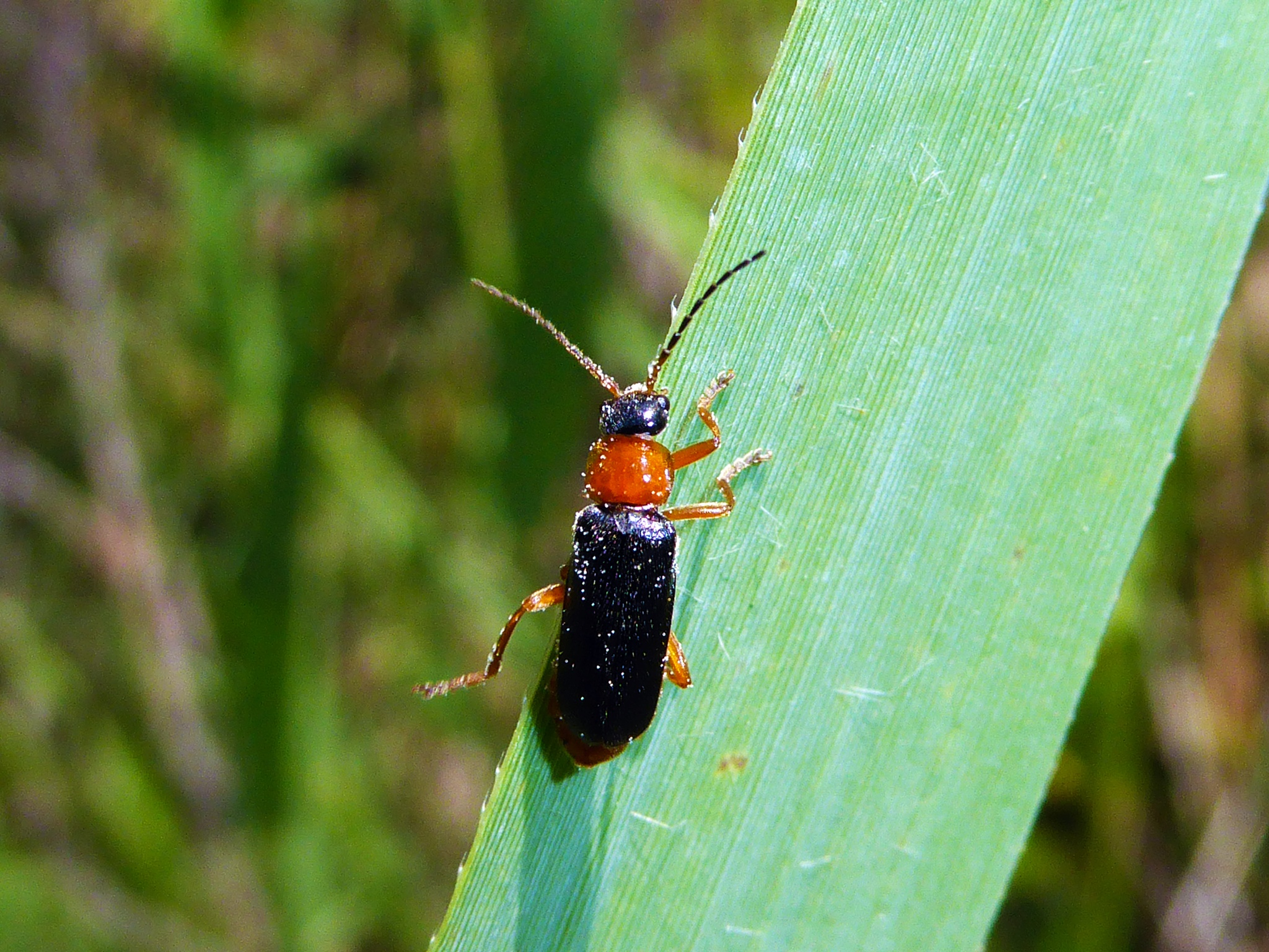 Cantharis fulvicollis by peppe953