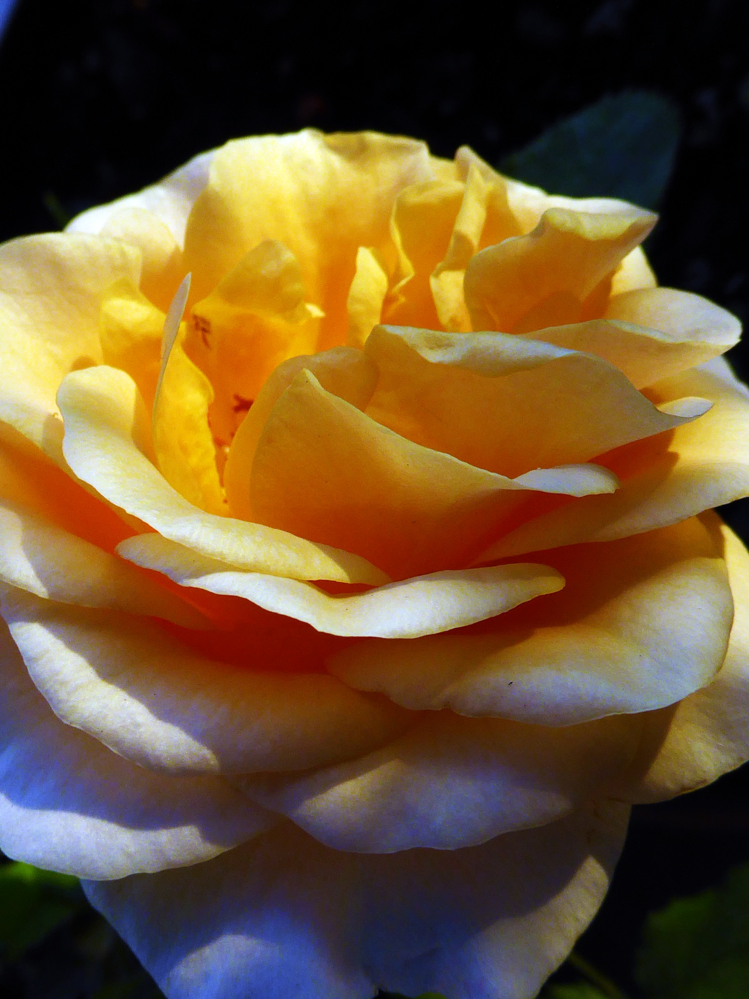 rose by peppe953